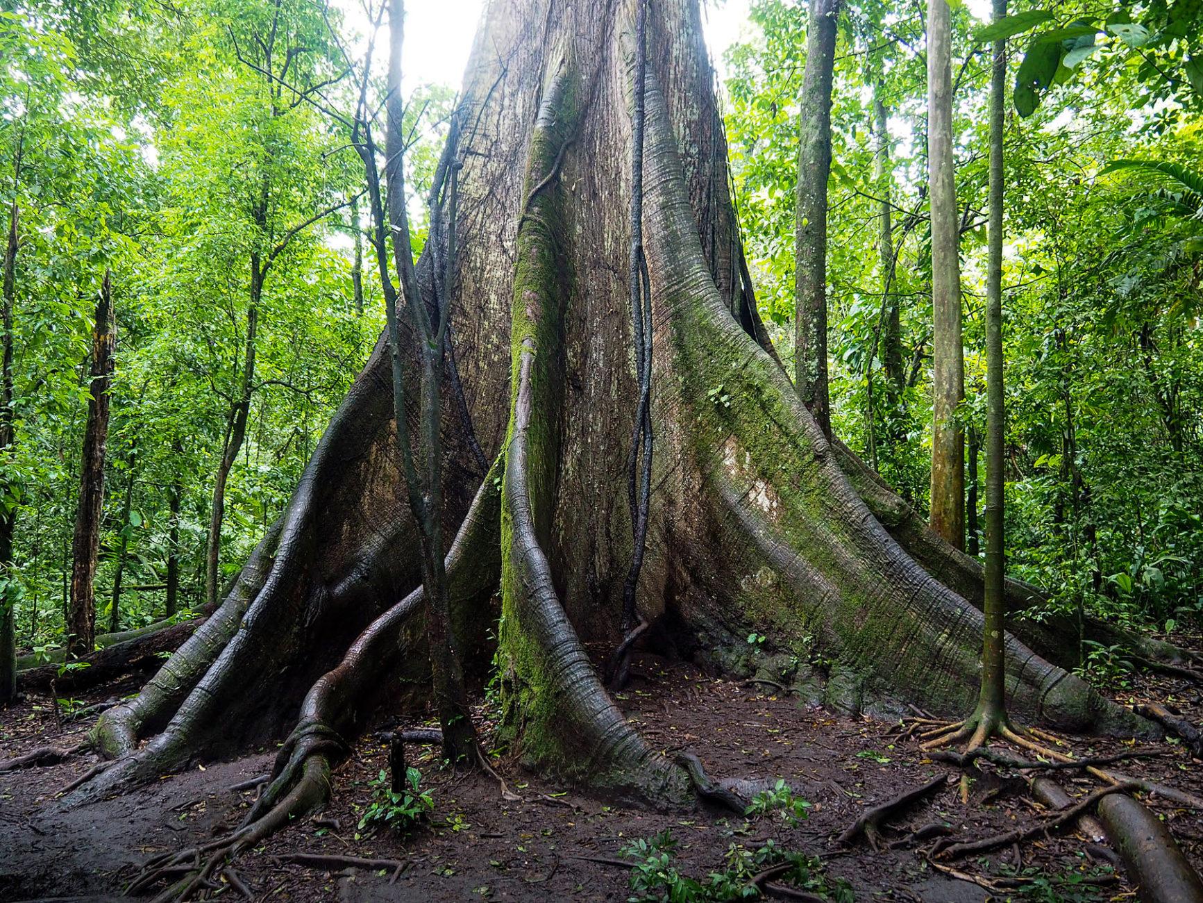 Baumriese im Regenwald