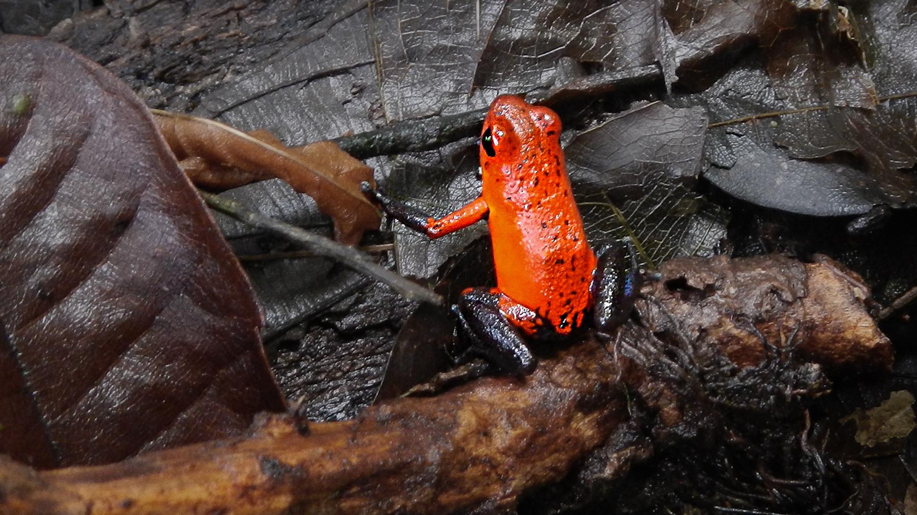 Giftiger Pfeilgiftfrosch am Ufer des wilden Pacuare