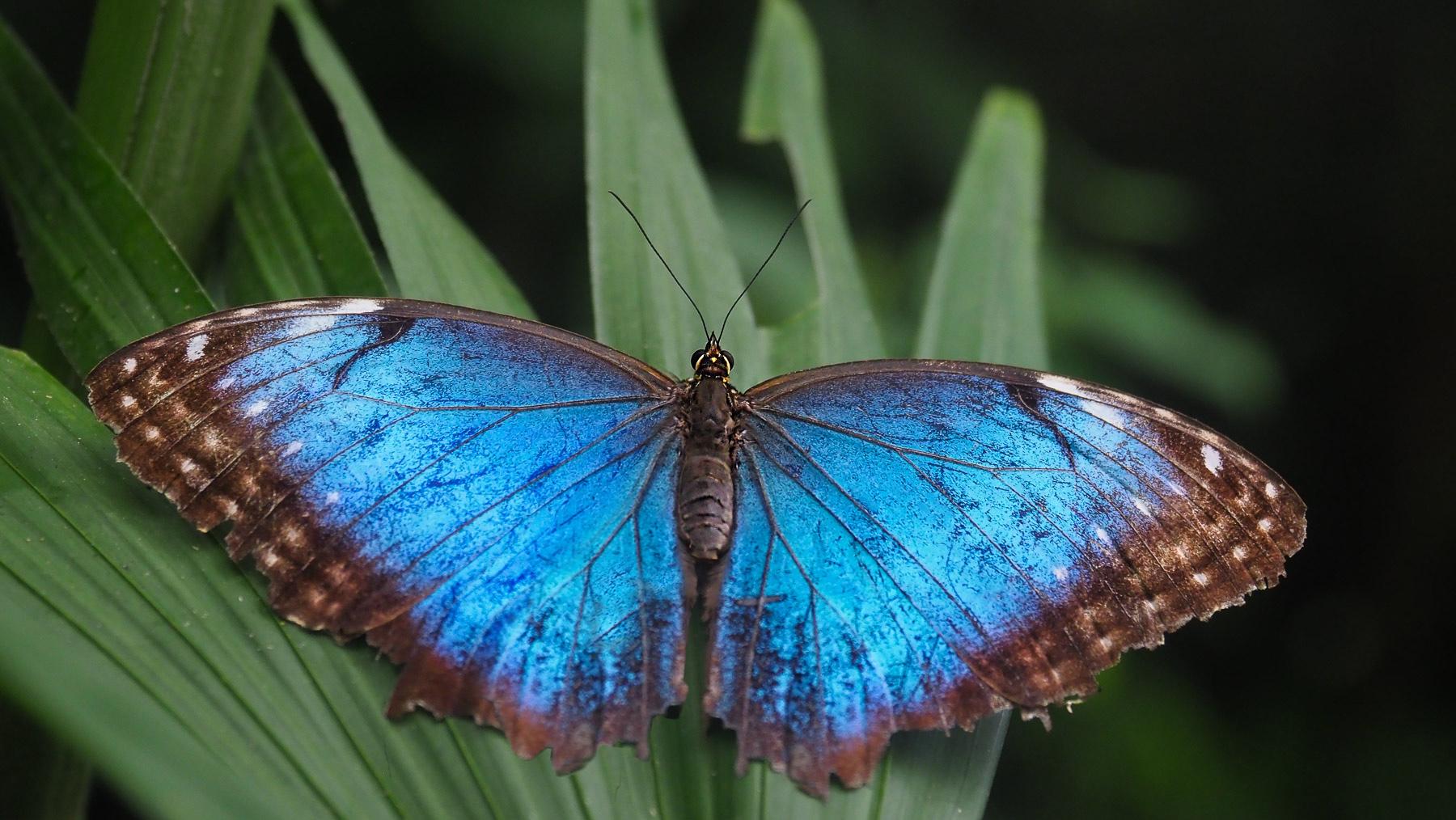 Keine Seltenheit in Costa Rica: die tollen blauen Morphofalter