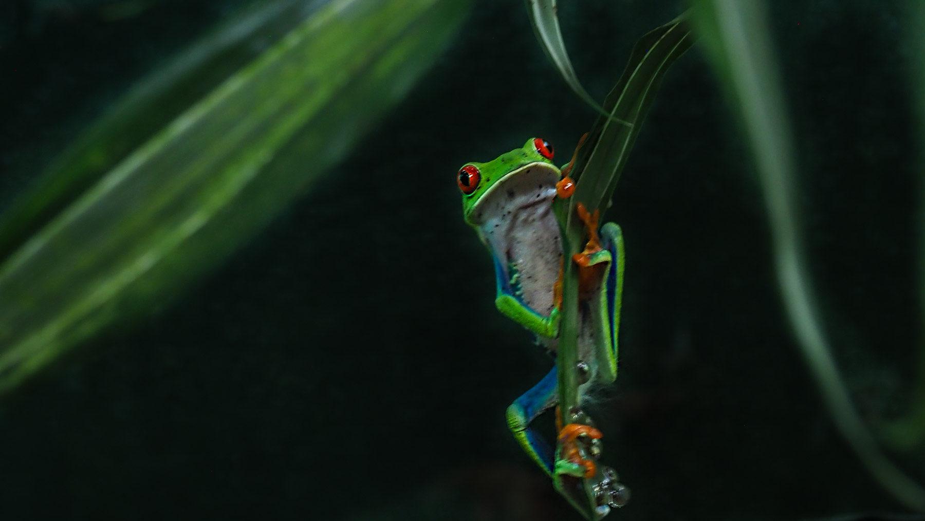 Der ist so süß – der Rotaugenlaubfrosch! Aber nachtaktiv und schwer zu photographieren.