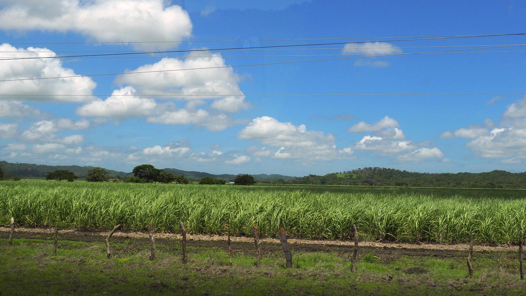 Honduras: meistens Zuckerrohrfelder am Wegesrand zur Rumherstellung