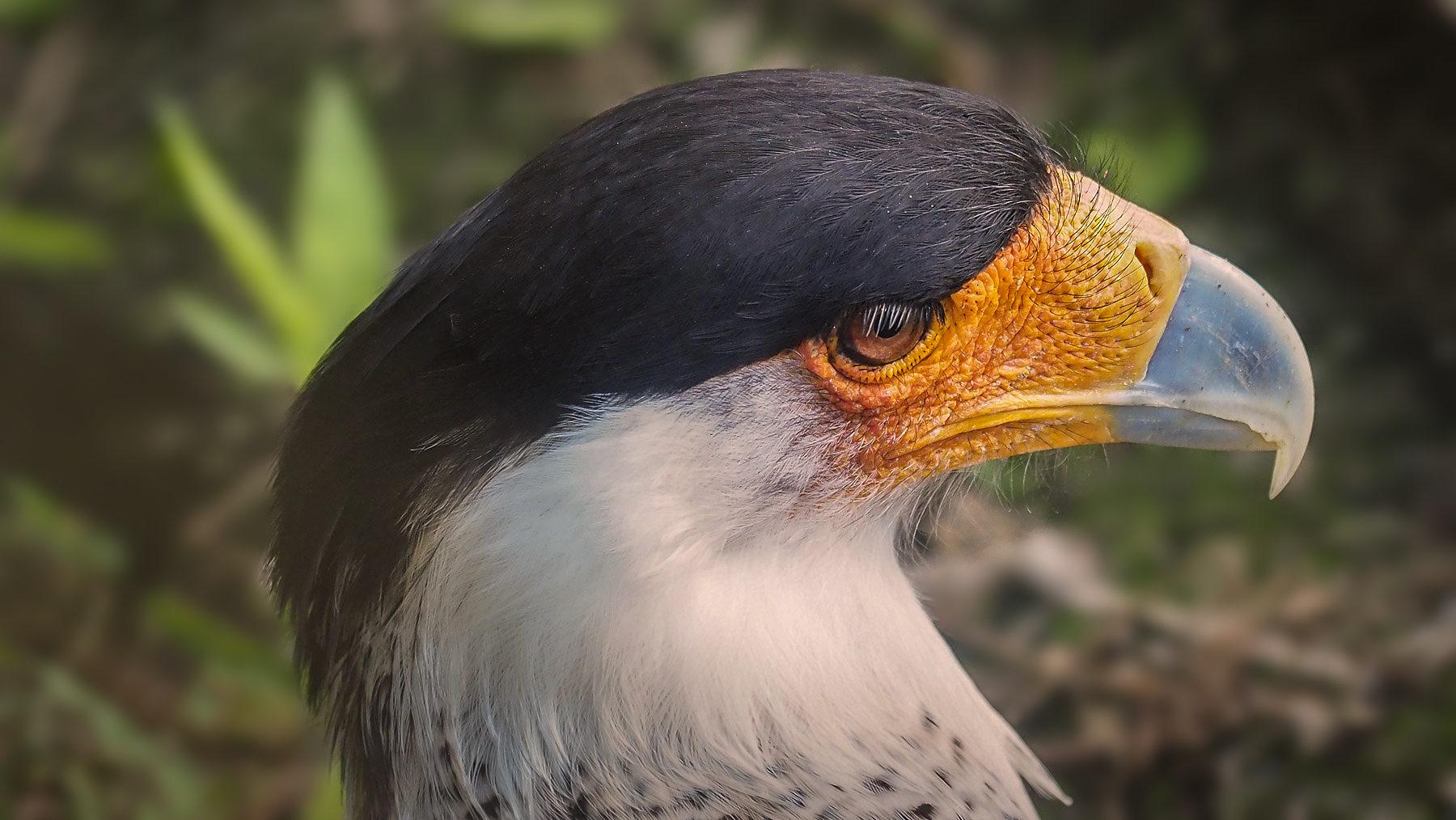 Einen Caracara, eine Falkenart, sehen wir einige Male