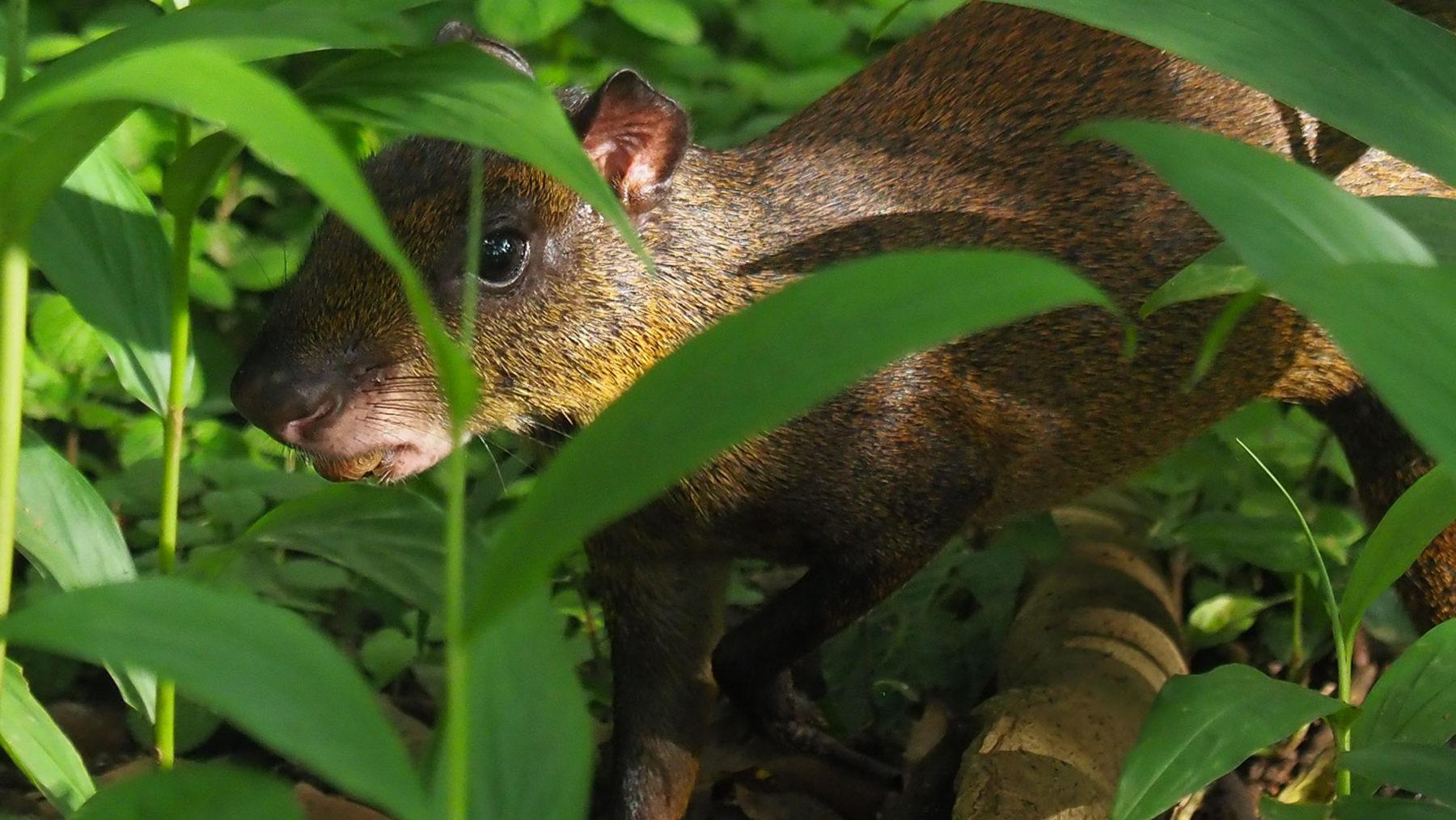 Wenn was im Gebüsch raschelt, dann ist es meistens ein Aguti, ein kleines Nagetier