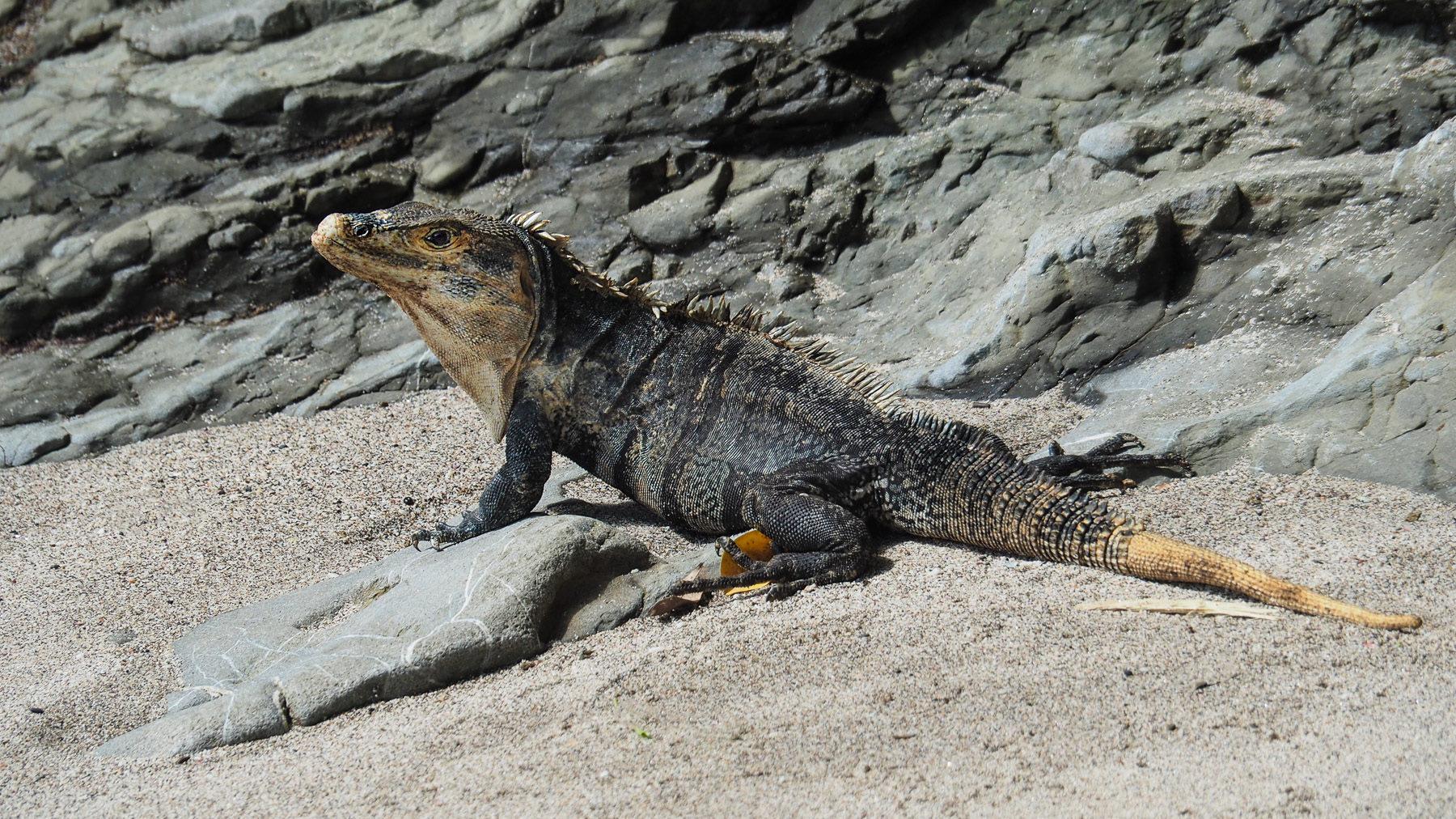 Kleine Tiere wie Iguanas und Krabben sieht man oft