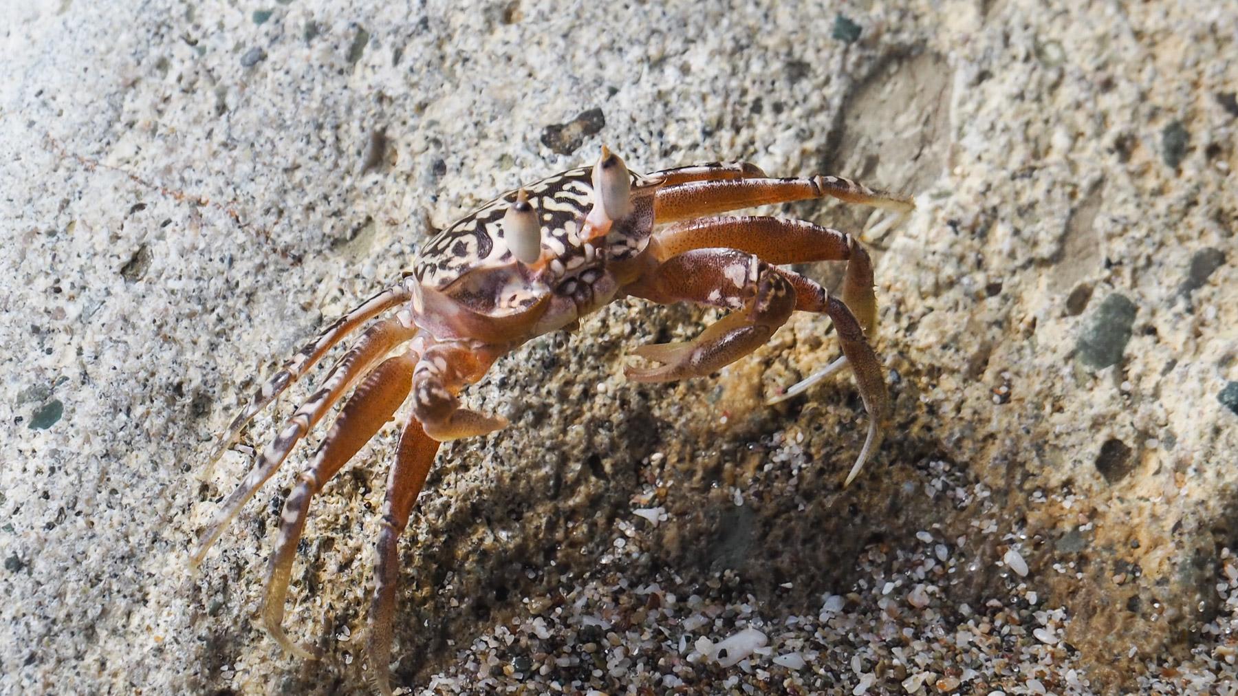 Gut getarnte Krabbe am Strand