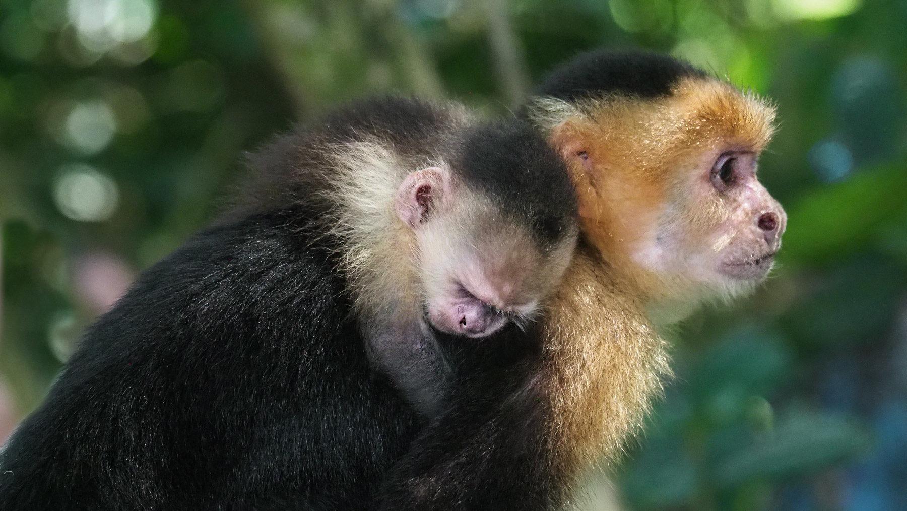 Kapuzineräffchen-Mama mit Nachwuchs