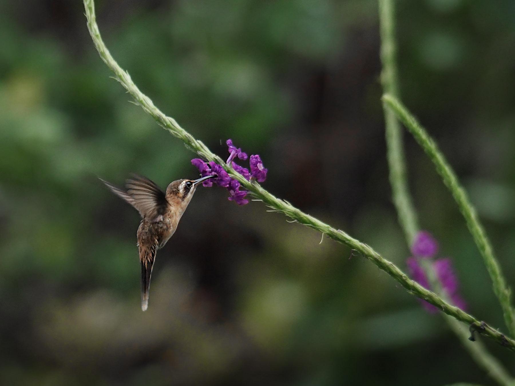 Ein eher unscheinbarer Kolibri