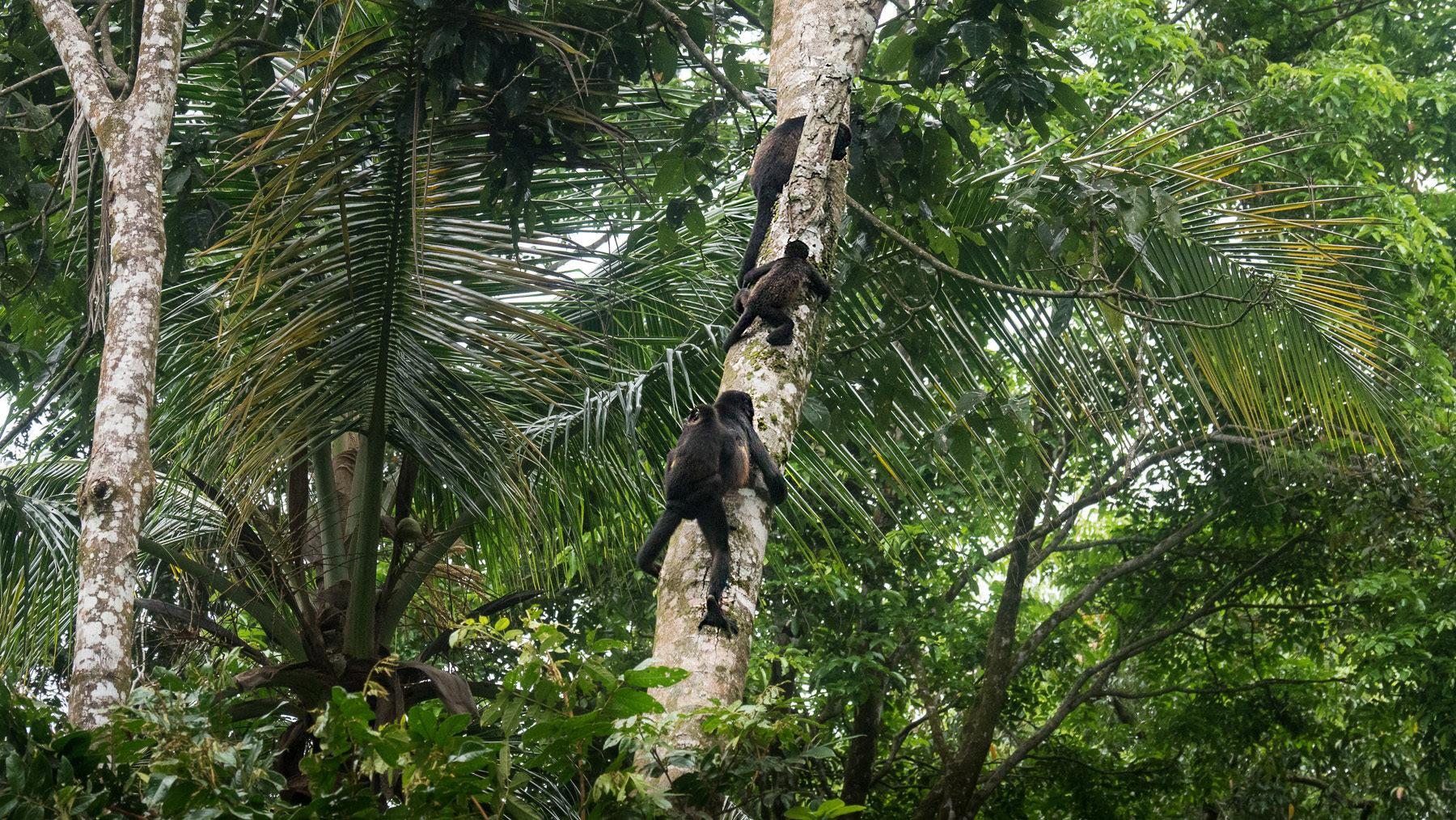Eine Brüllaffenfamilie klettert abends auf ihren Schlafbaum