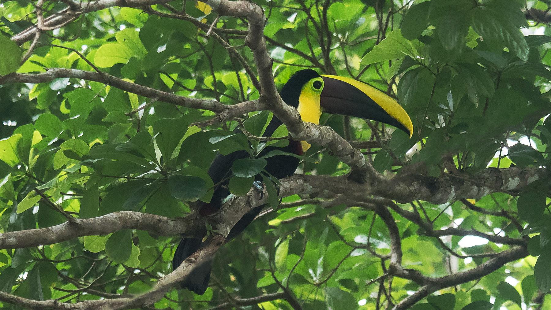 Eine ganze Tukan-Familie in den Bäumen
