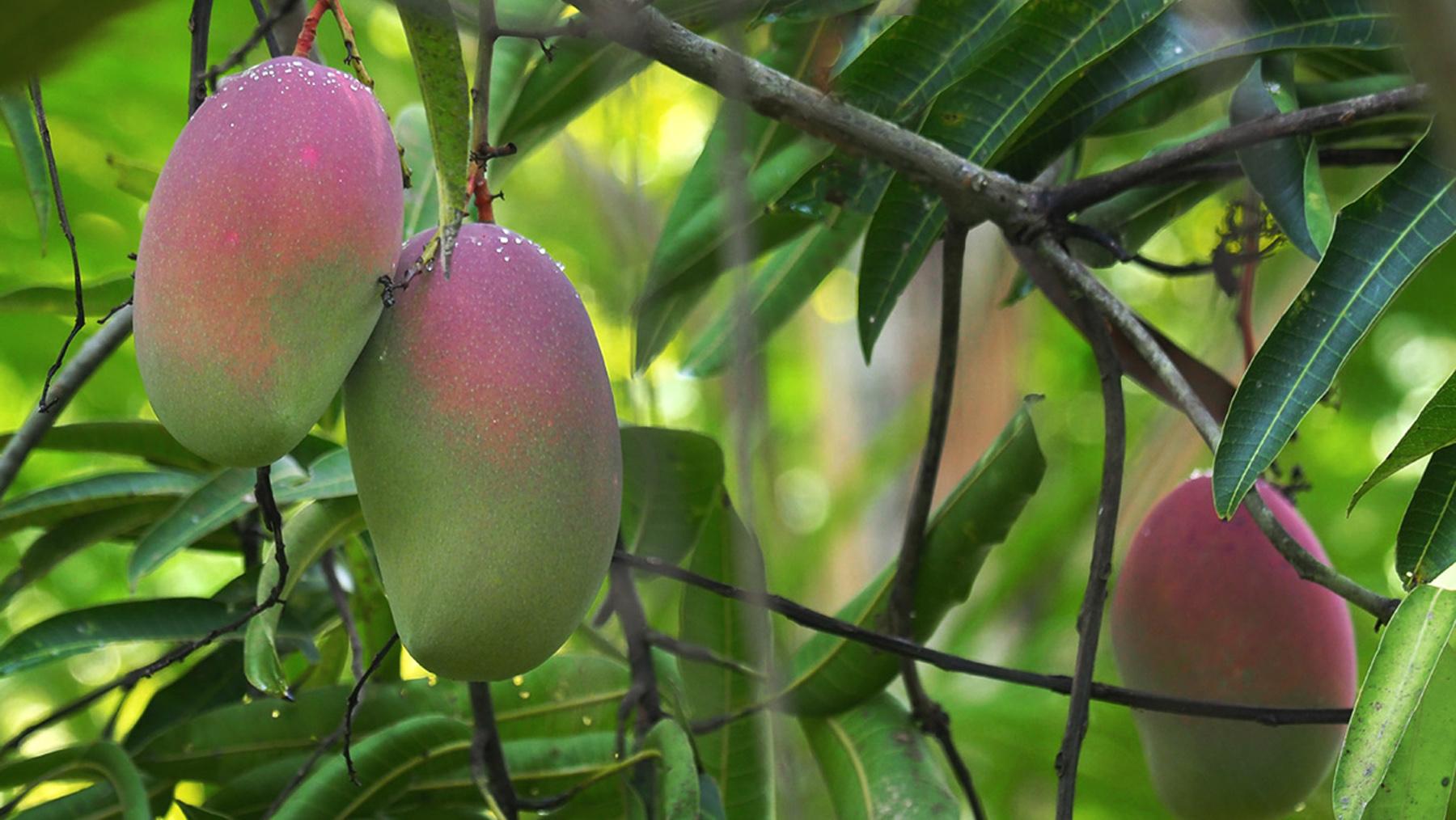 Herrliche Mangos direkt vom Baum