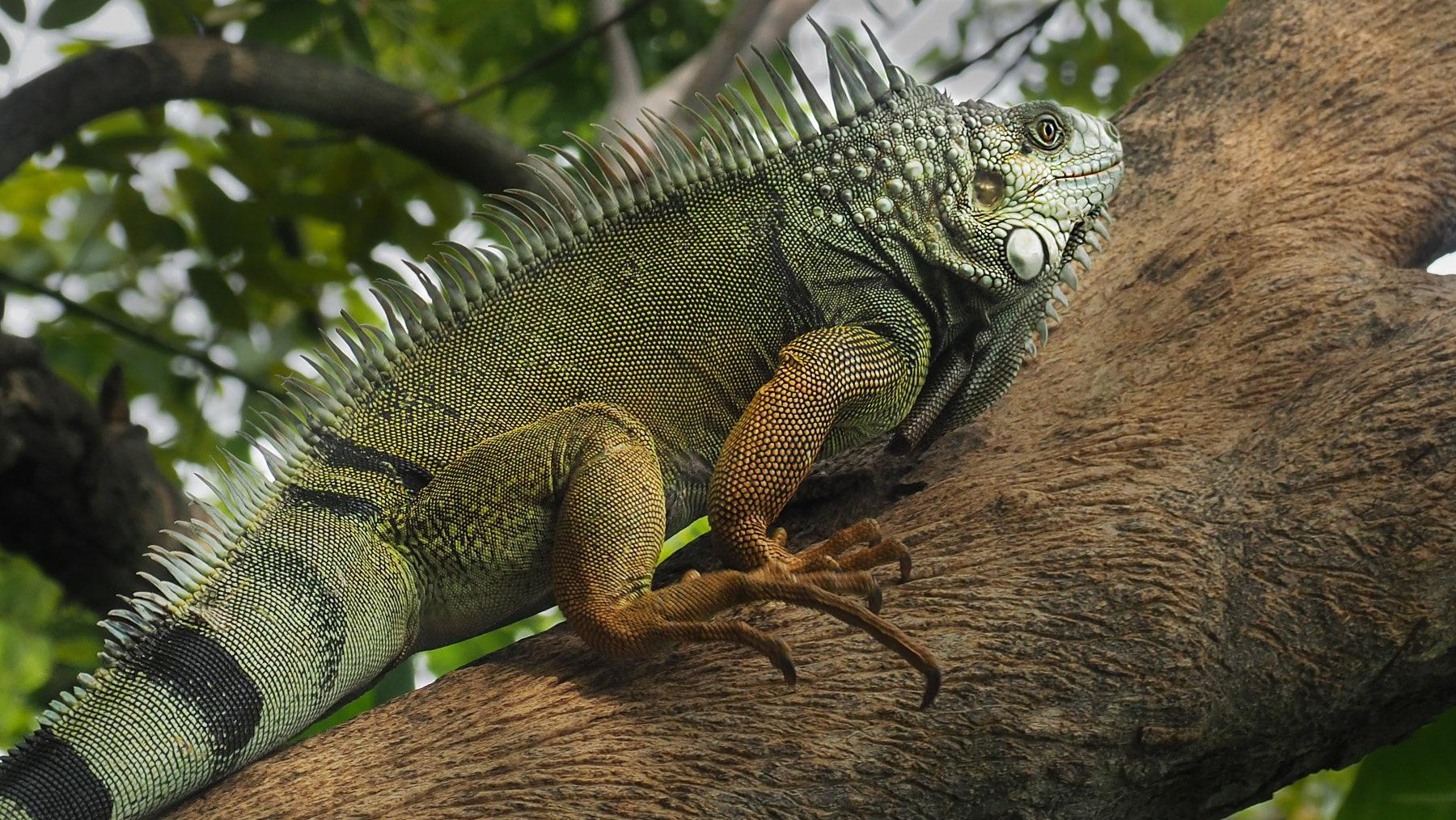 Eine besonders große und schöne Iguana Echse