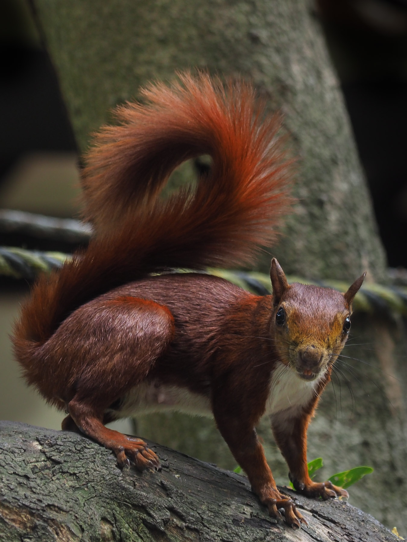Rote Eichhörnchen wie bei uns