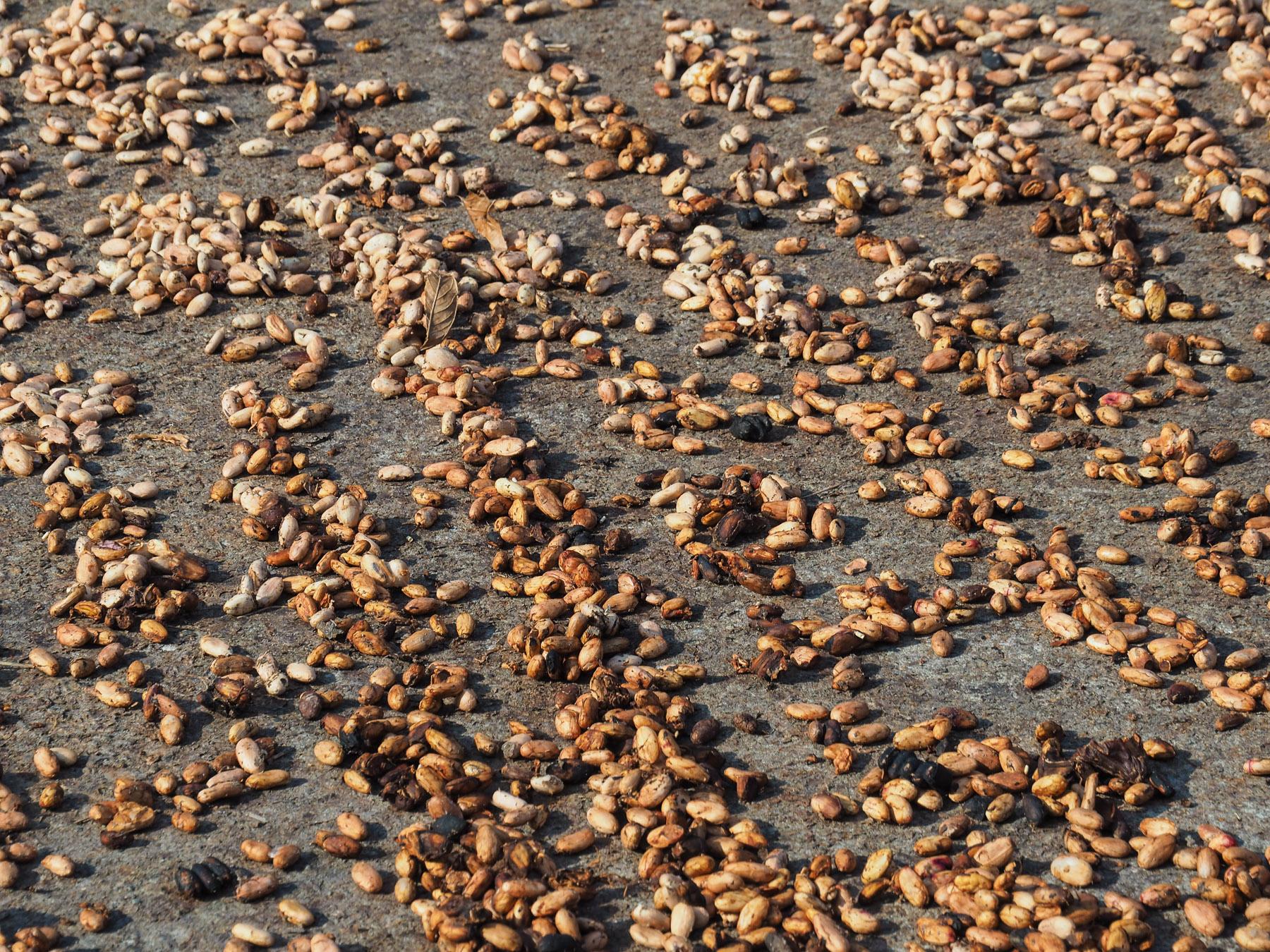 Frische Kakaobohnen beim Trocknen in der Sonne