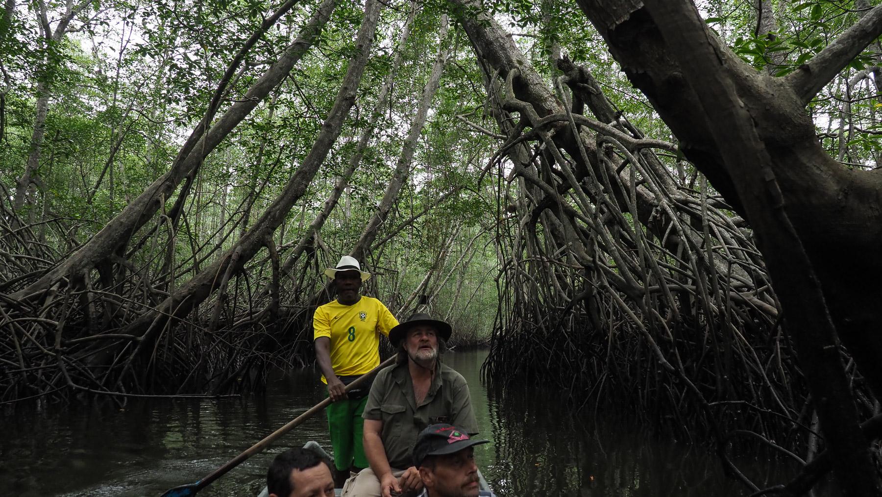 Die höchsten Mangroven der Welt...