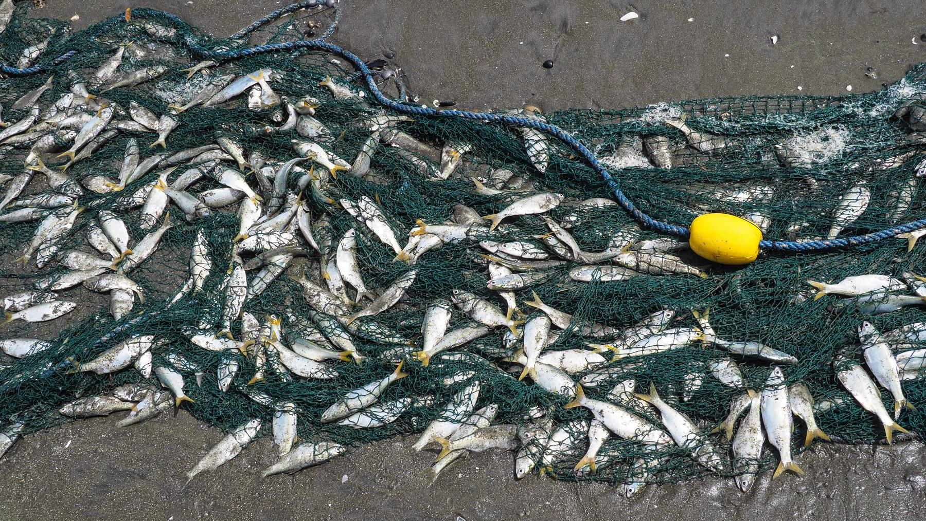 Lauter kleine Fische für die Fischmehlfabrik