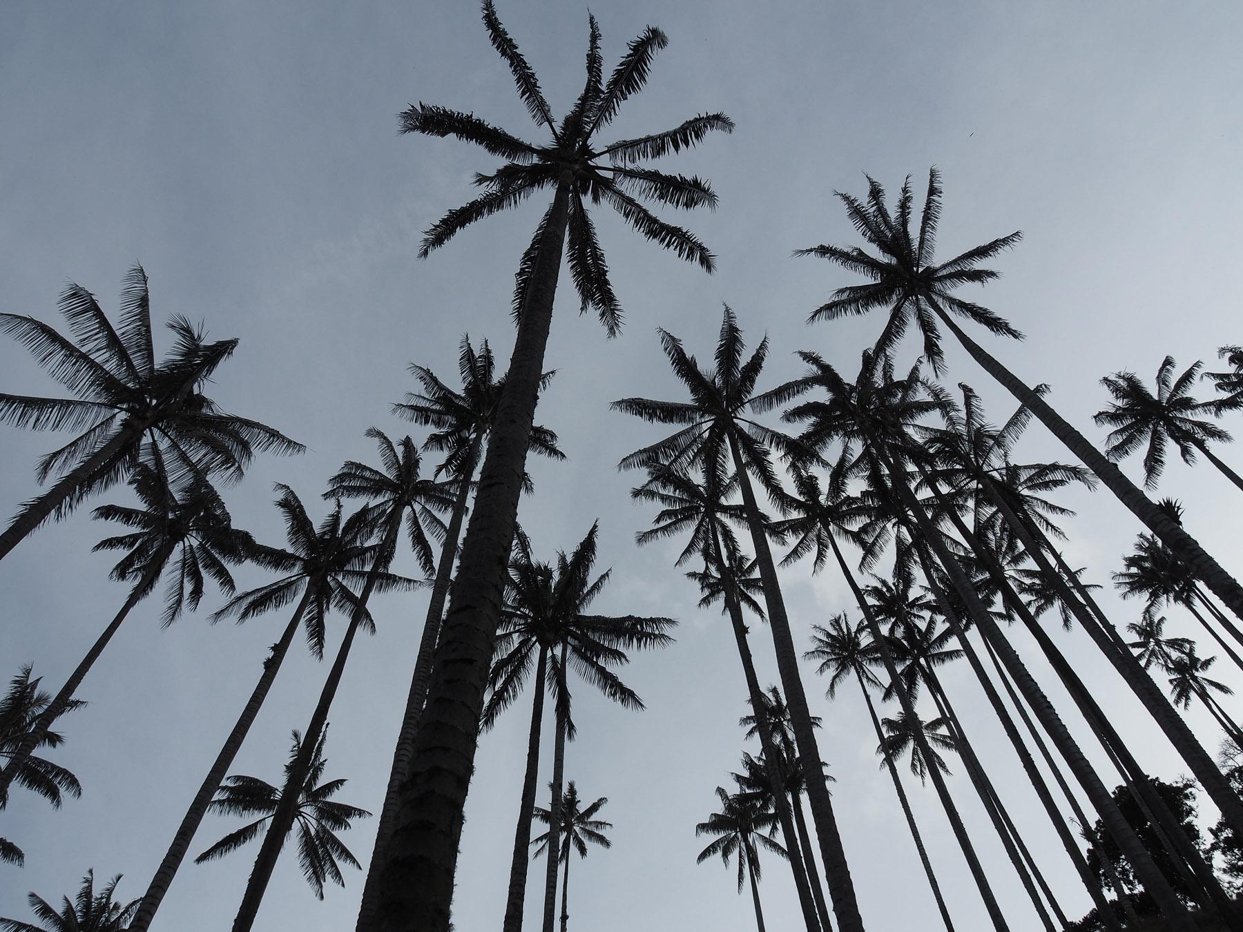 Die höchsten Palmen der Welt – bis zu 60 m hoch
