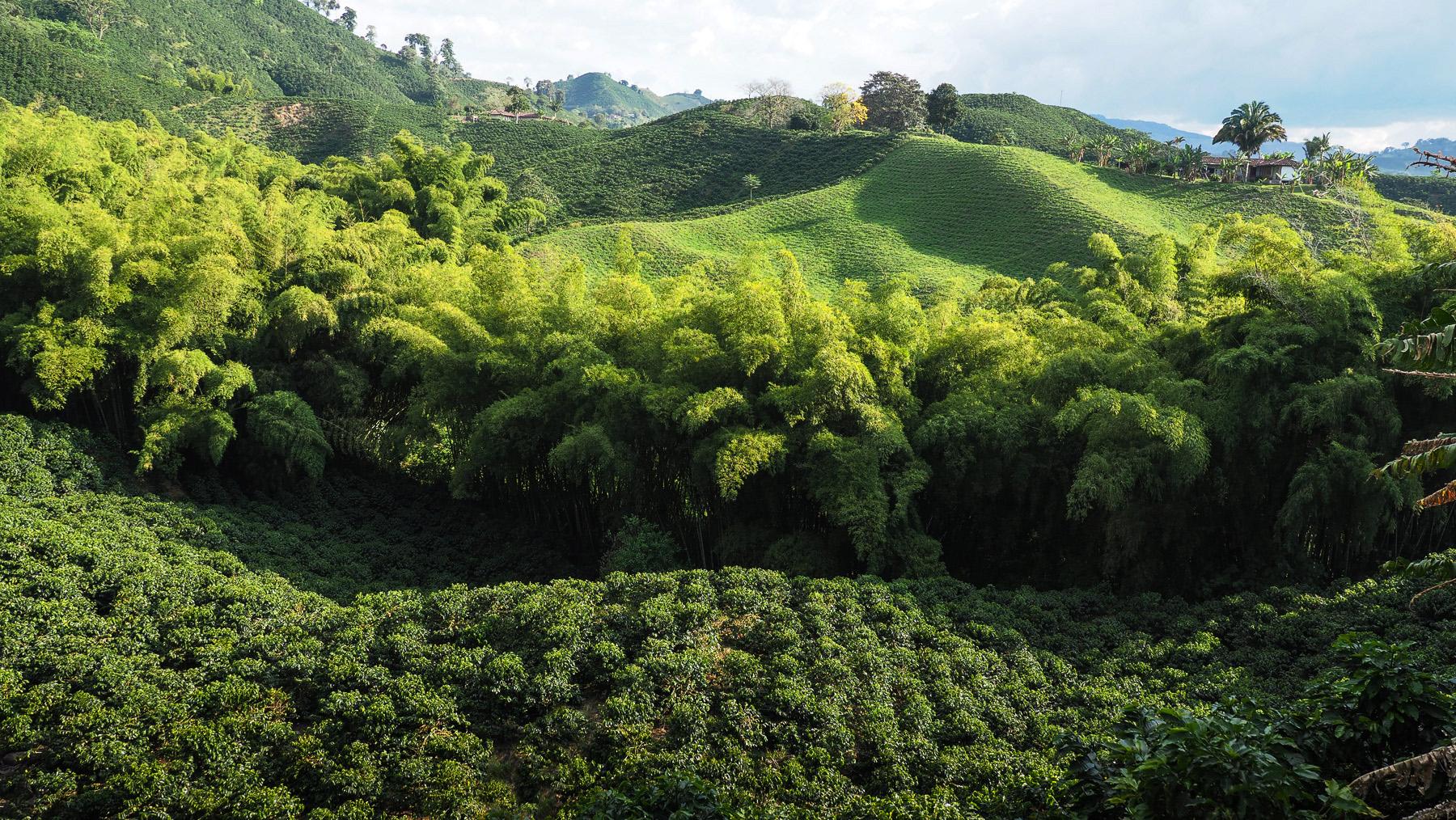 Eine der vielen Kaffeeplantagen mit Bambushain