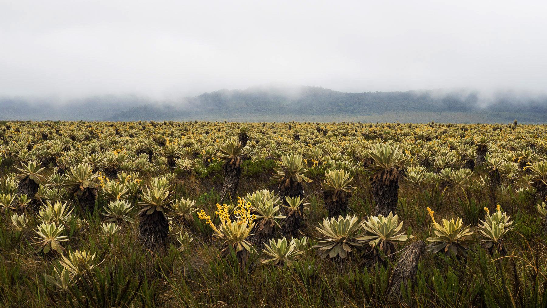 Eigenartige Frailejons in einem Sumpfgebiet auf über 3000 Metern Höhe