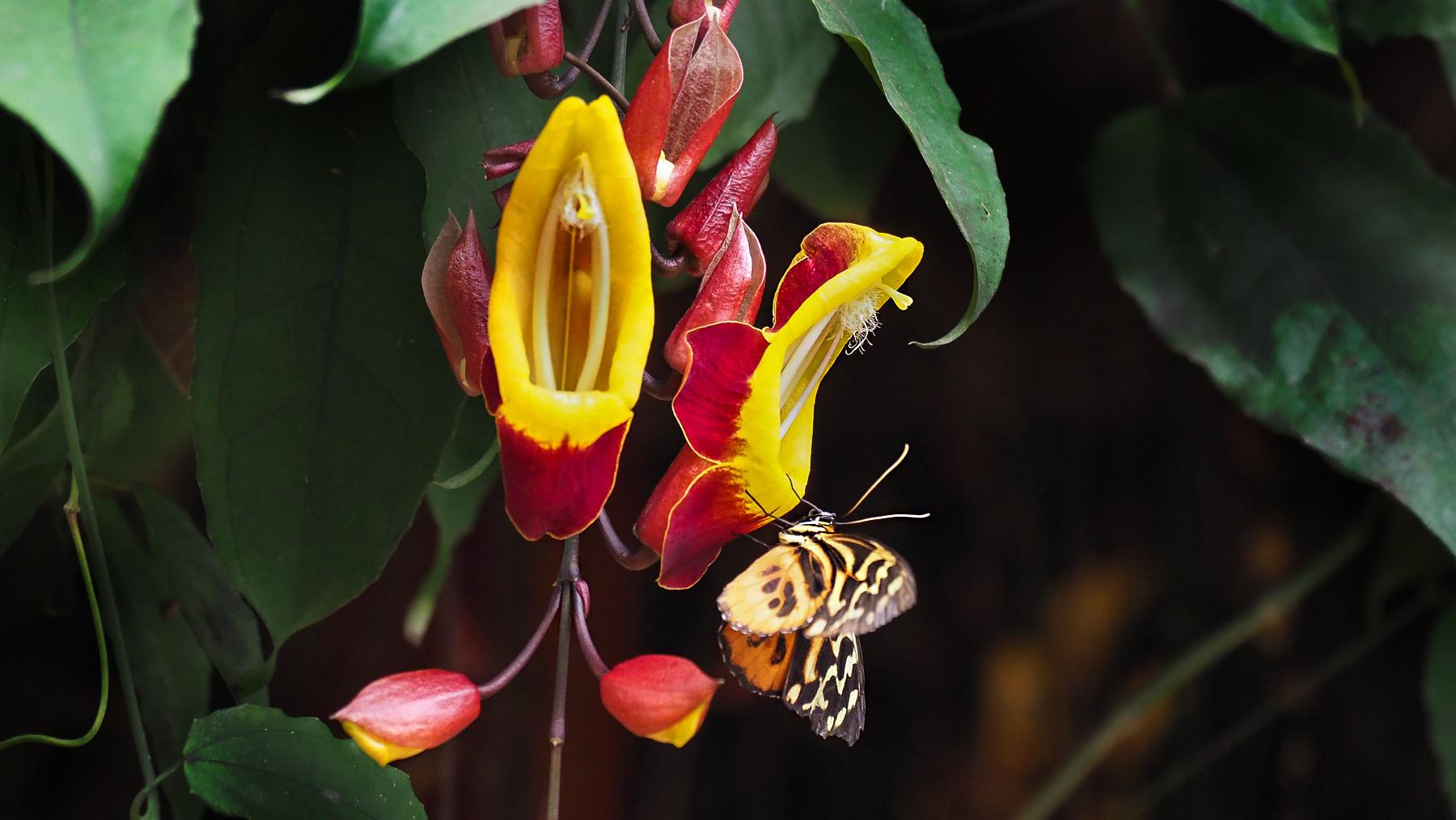 Blumen und Schmetterlinge in Mindo