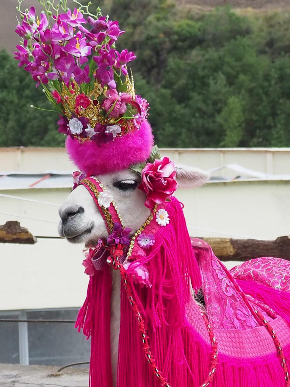 Mein erstes Lama! – in etwas grellem Outfit