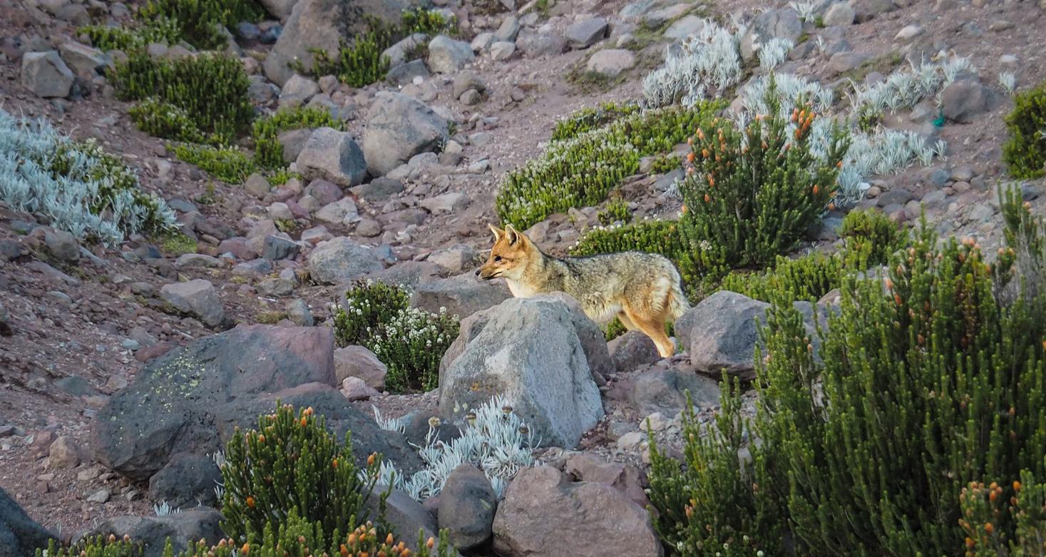 Begegnung mit einem Kojoten