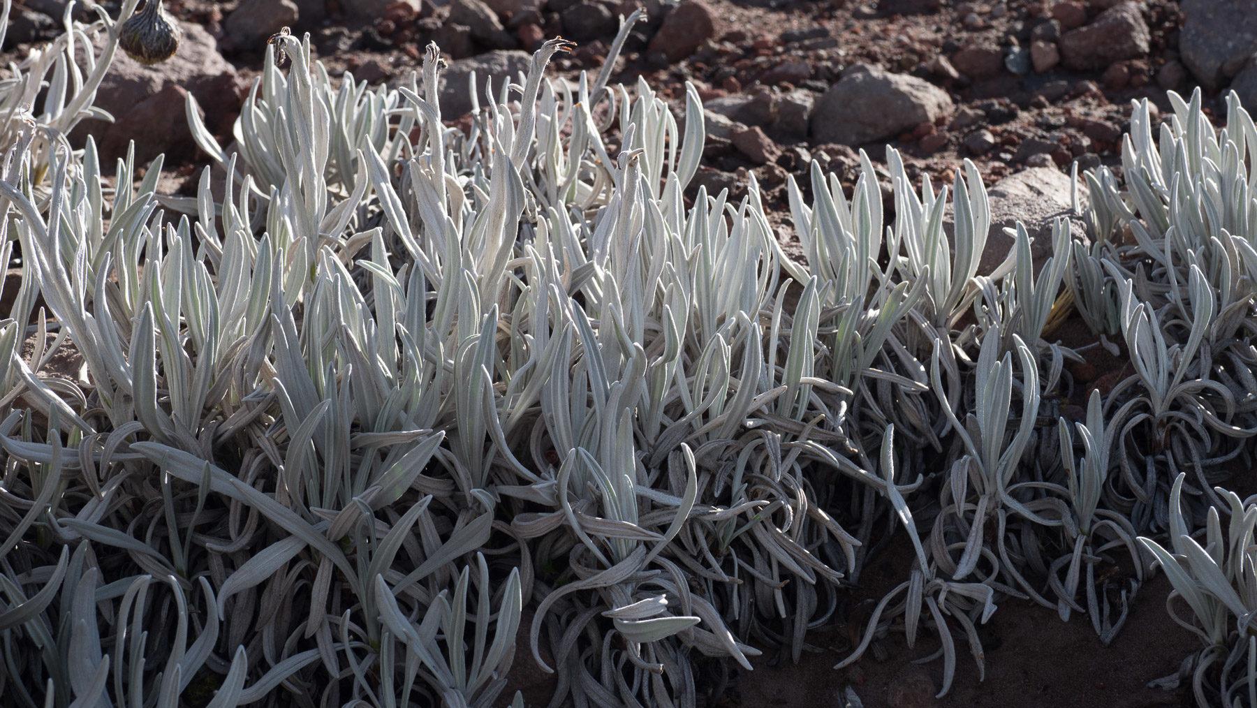 Karge Pflanzenwelt im vulkanischen Hochland