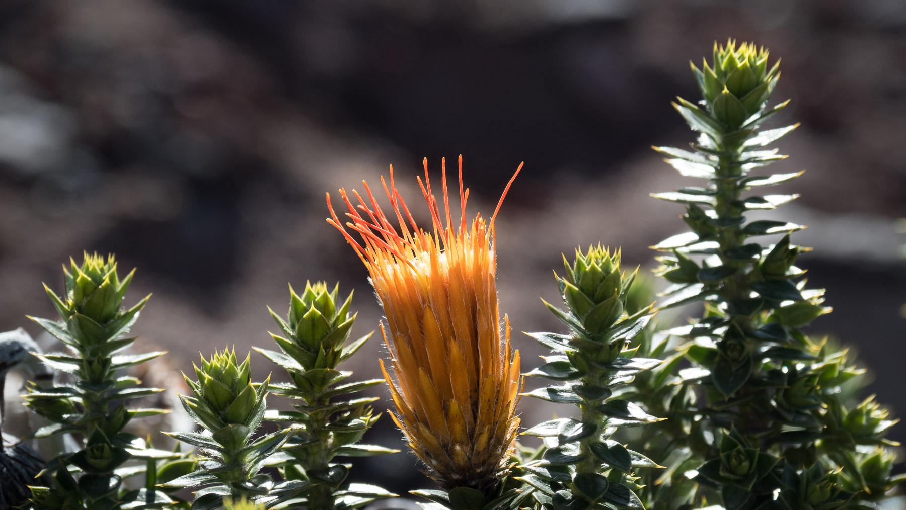 Von diesen Blüten leben die Kolibris hier in eisigen Höhen