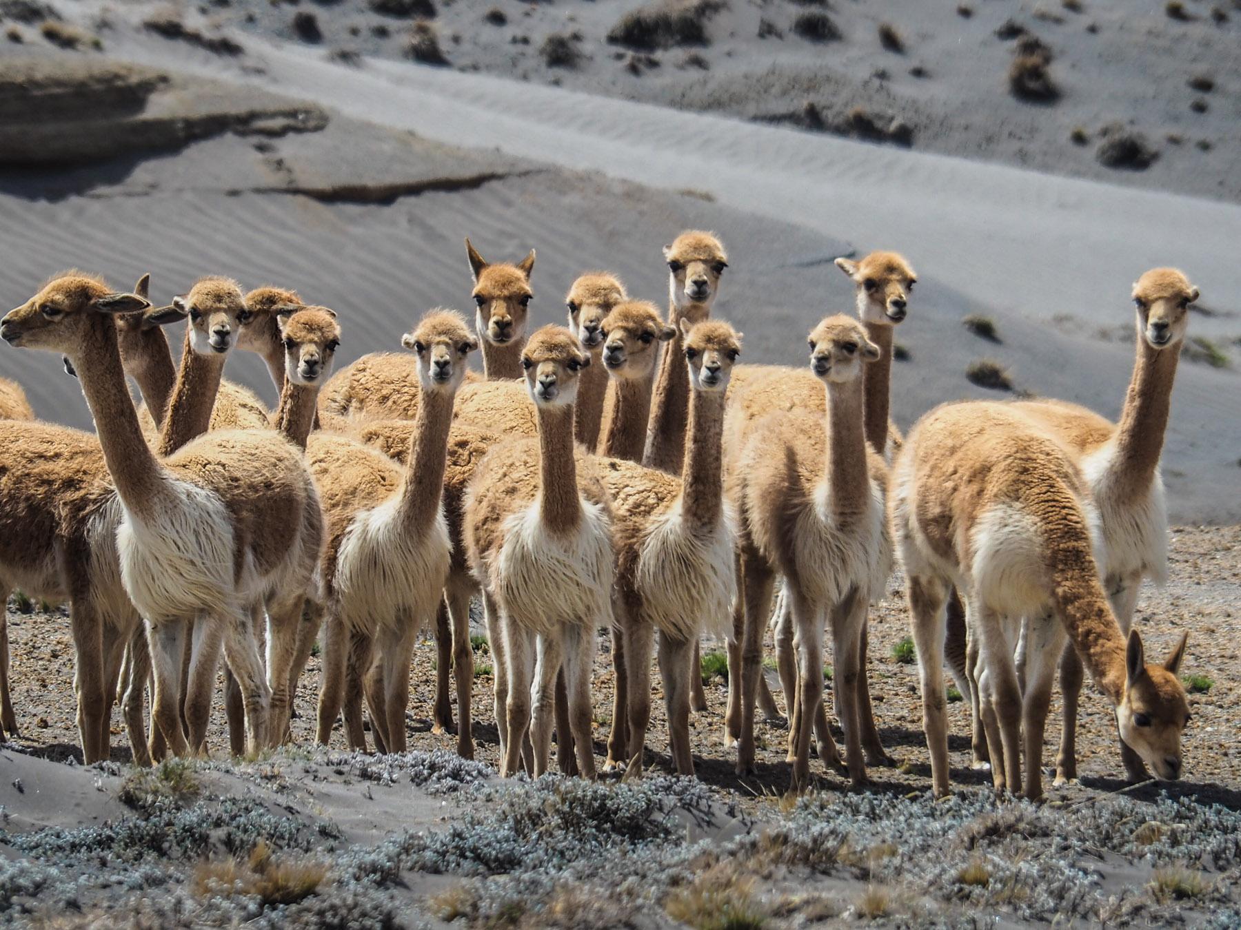 Wir entdecken eine große Herde Vikunjas