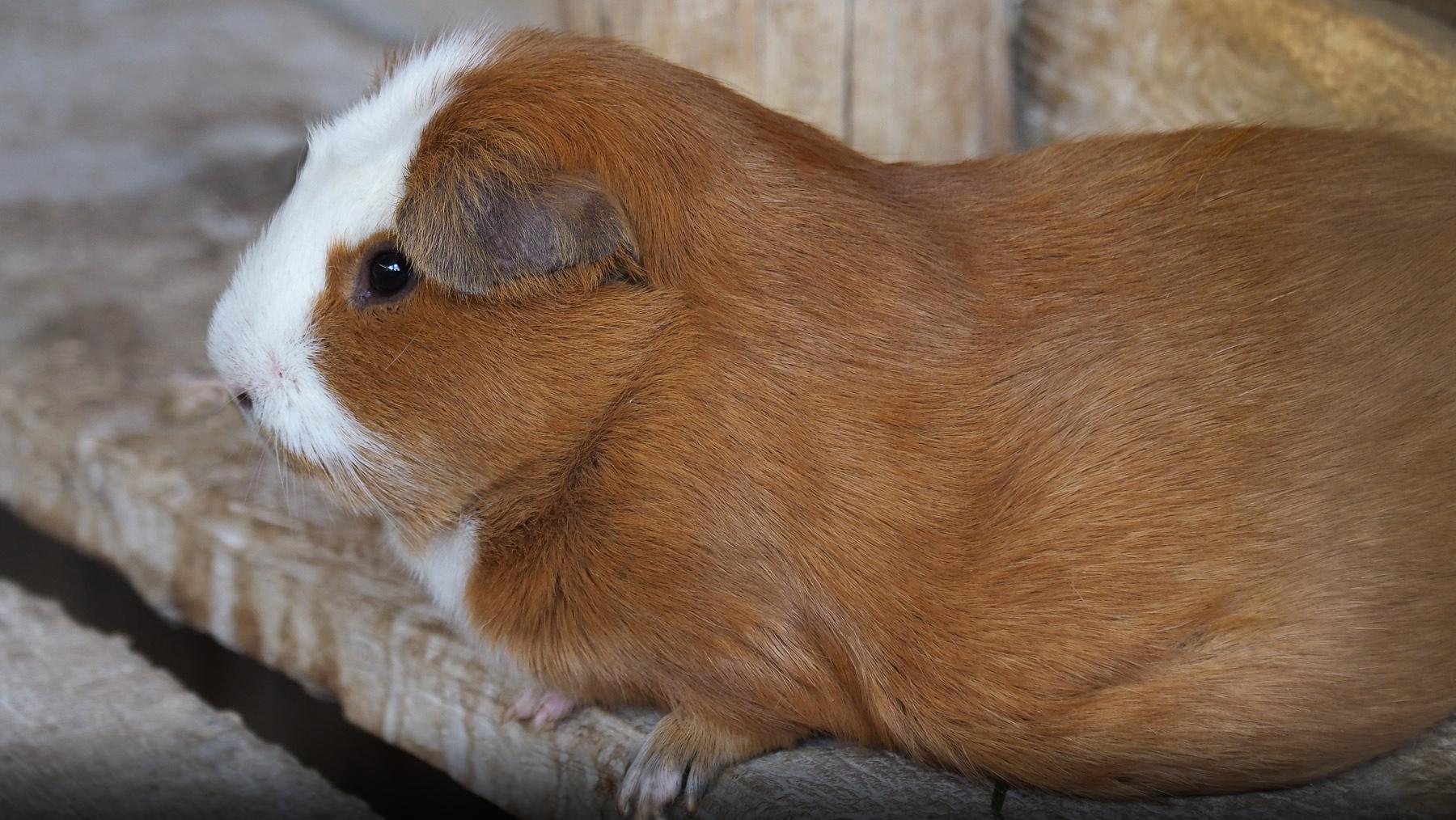 So ein nettes Meerschweinchen, ich mags nicht essen