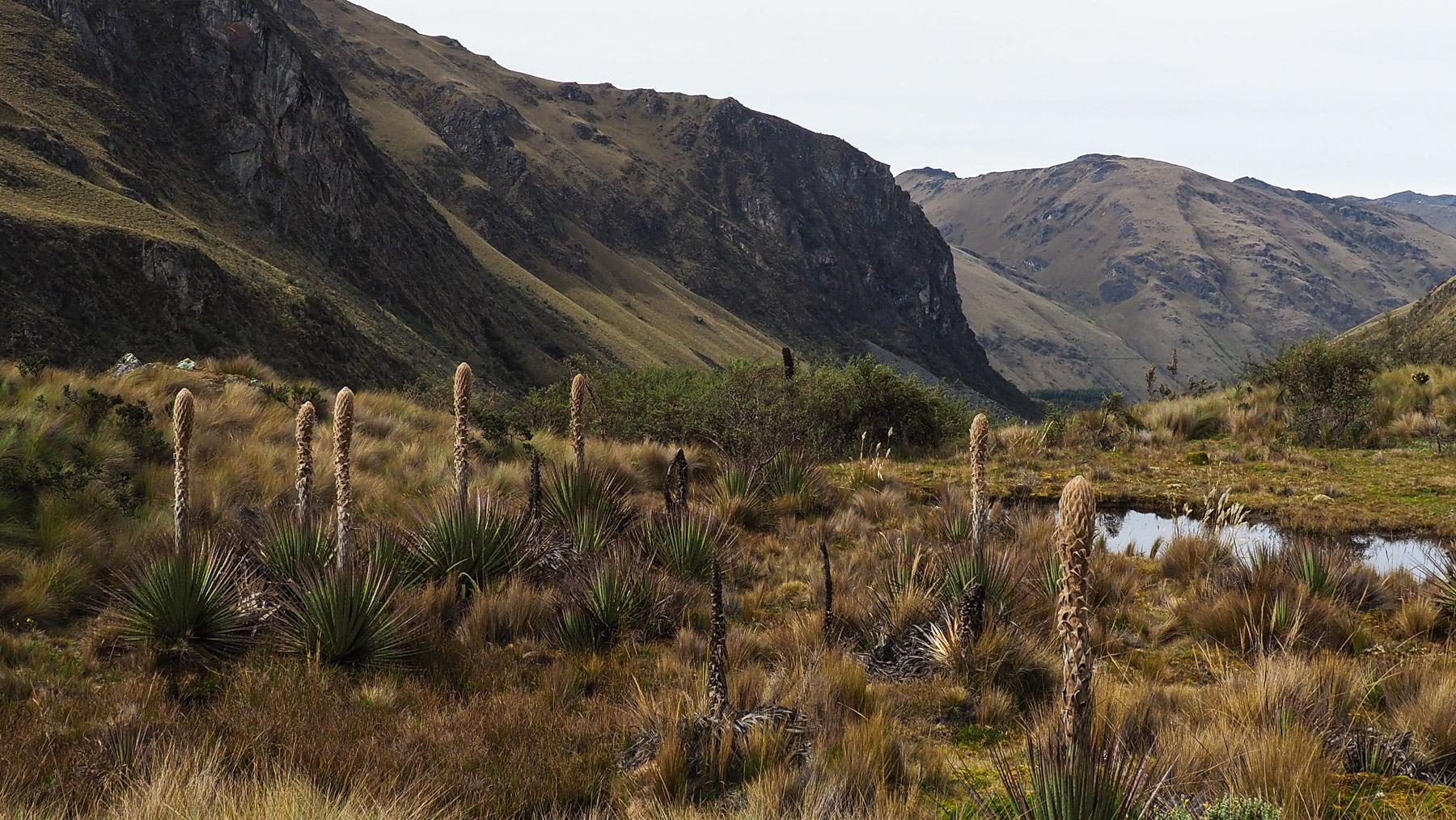 Eigenartige Pflanzenwelt in der Paramo Landschaft