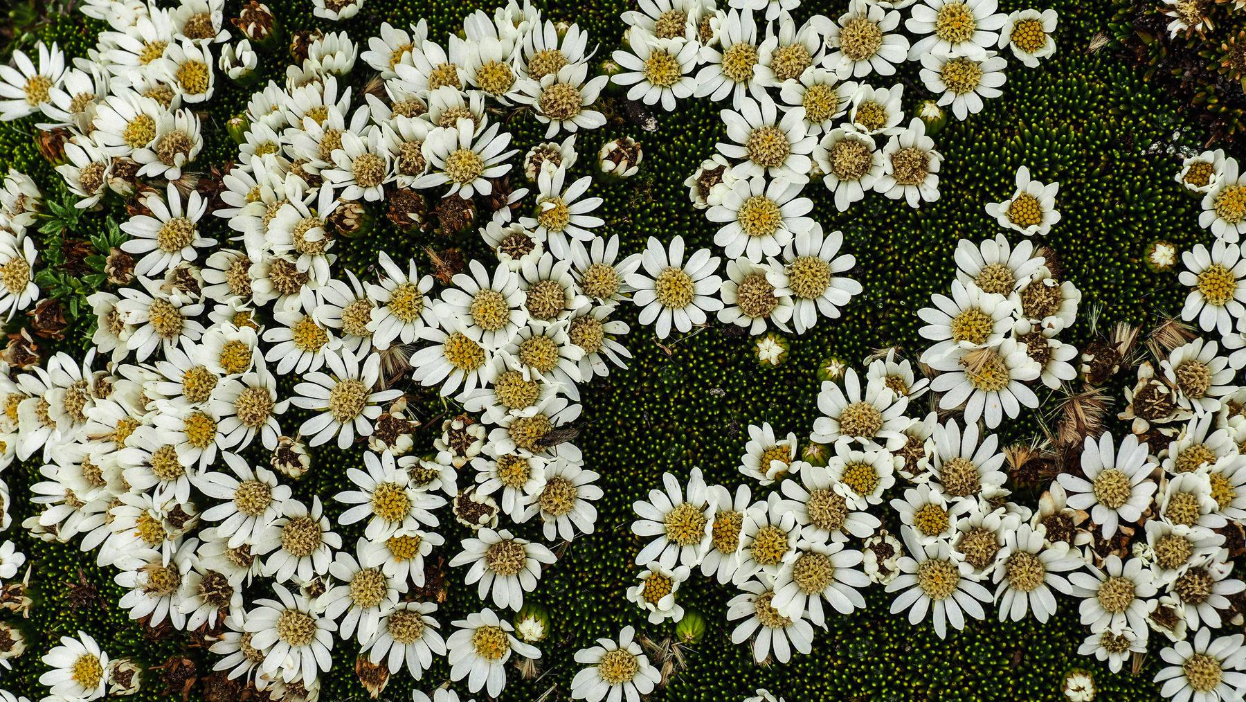 Die Blumen sind meistens ohne Stiel