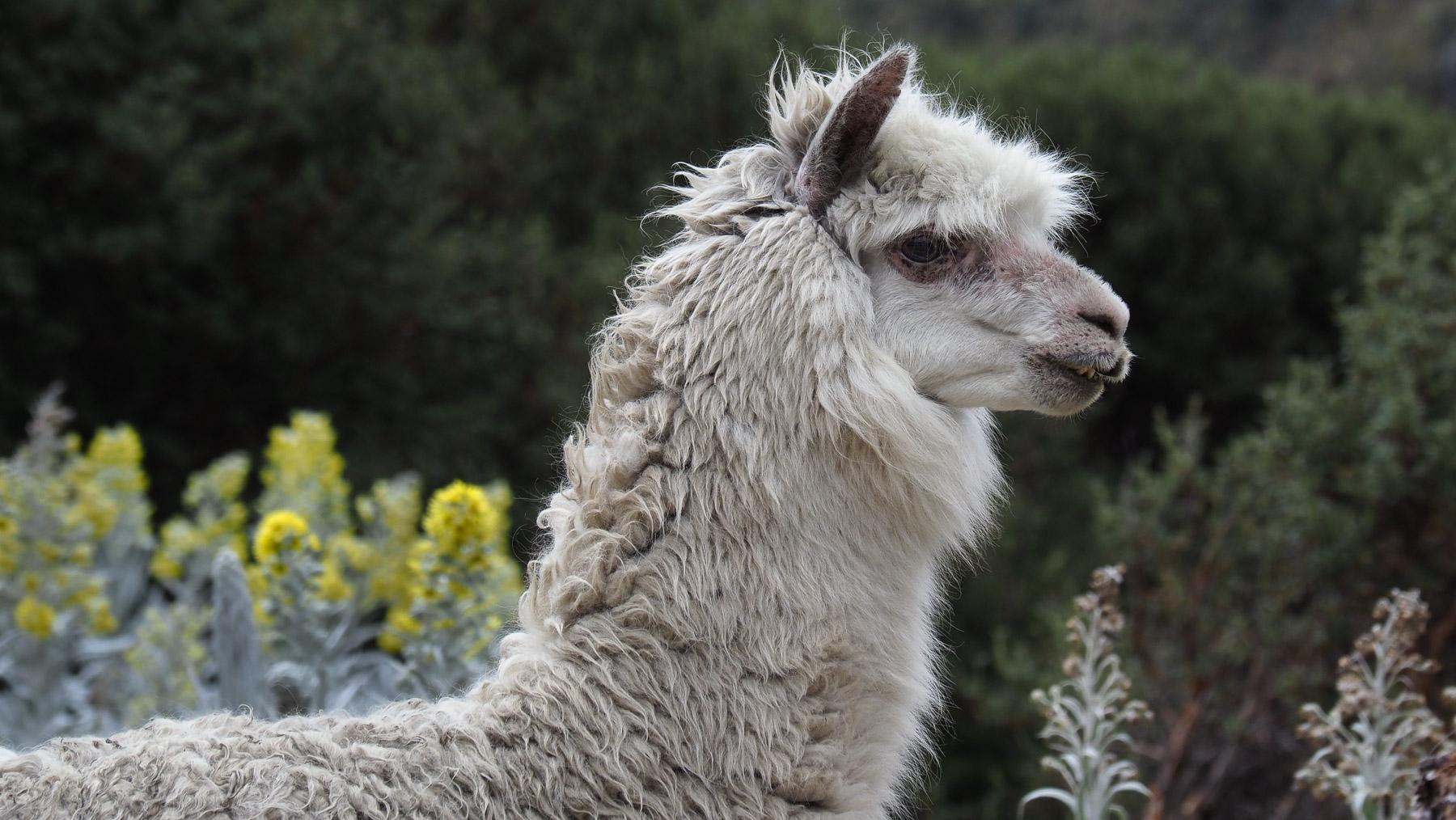 Ein Prachtexemplar von einem Lama