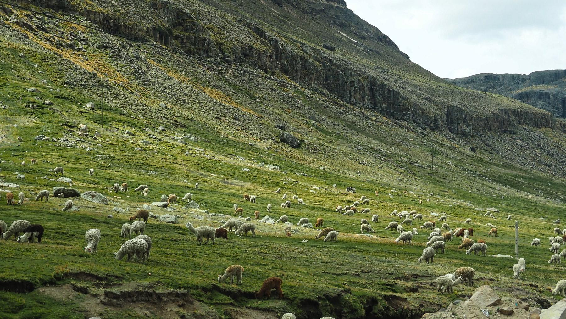 Lamas ohne Ende...