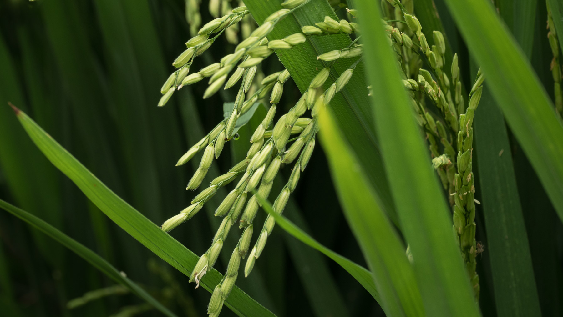 Reis – von erntereif bis frisch gepflanzt