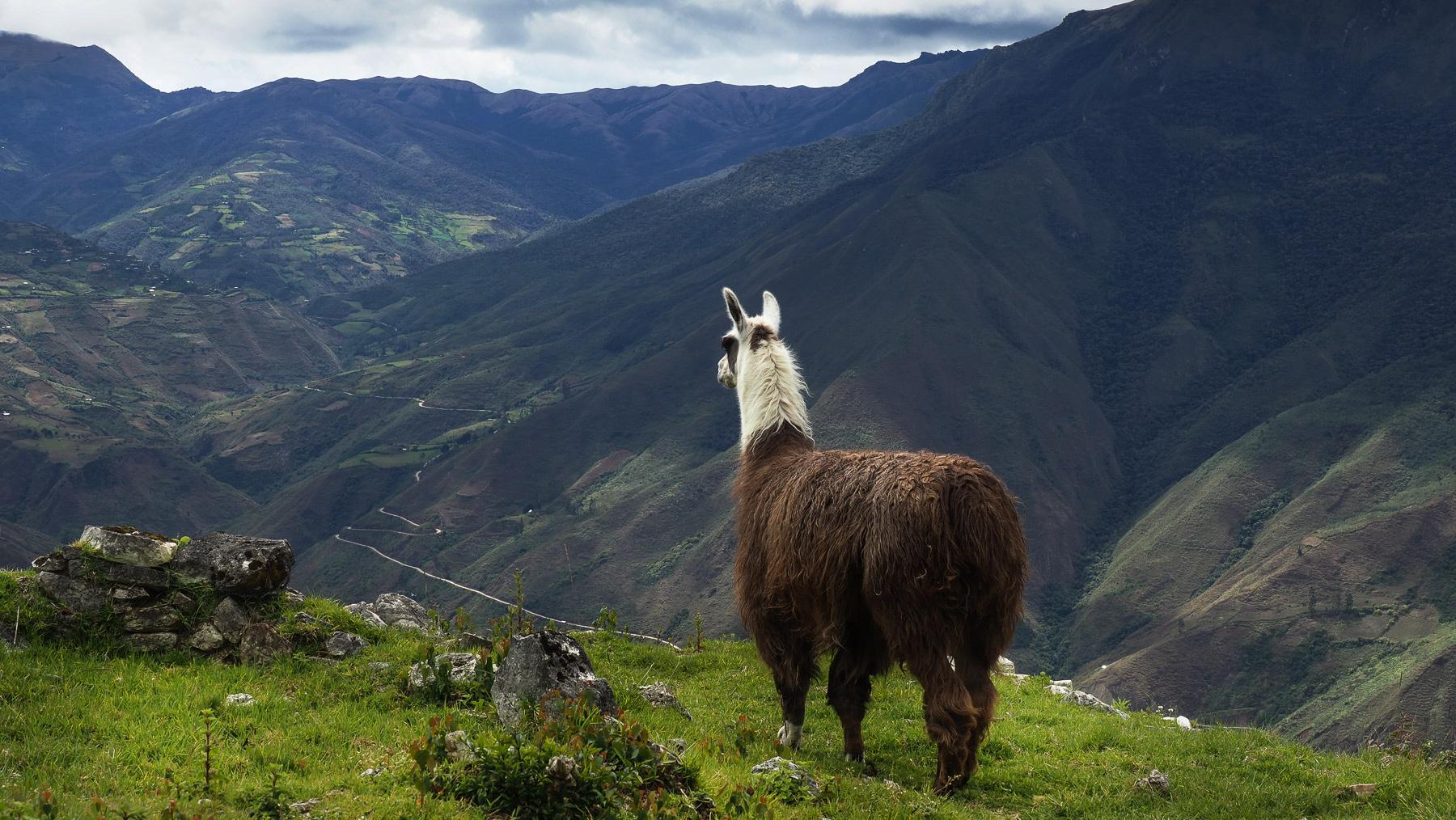 Lamas auf den Berghängen von Kuelap