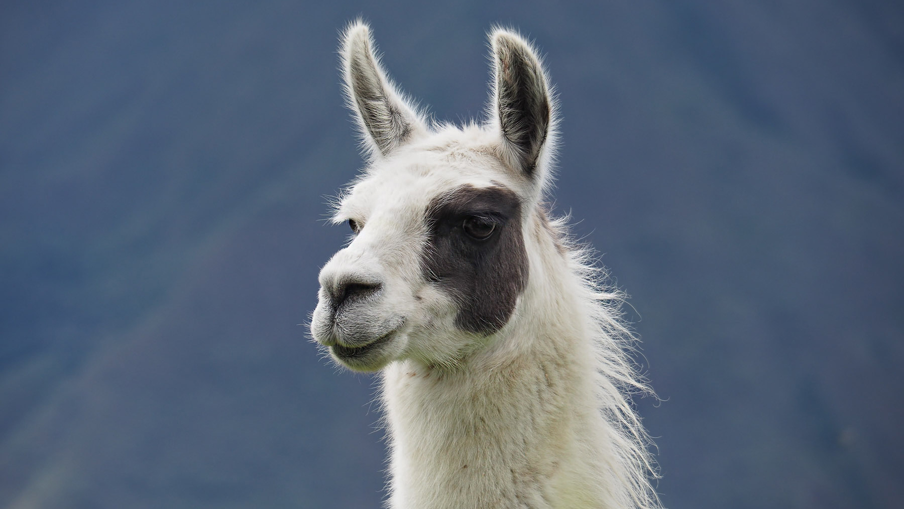 Besonders nettes Lama