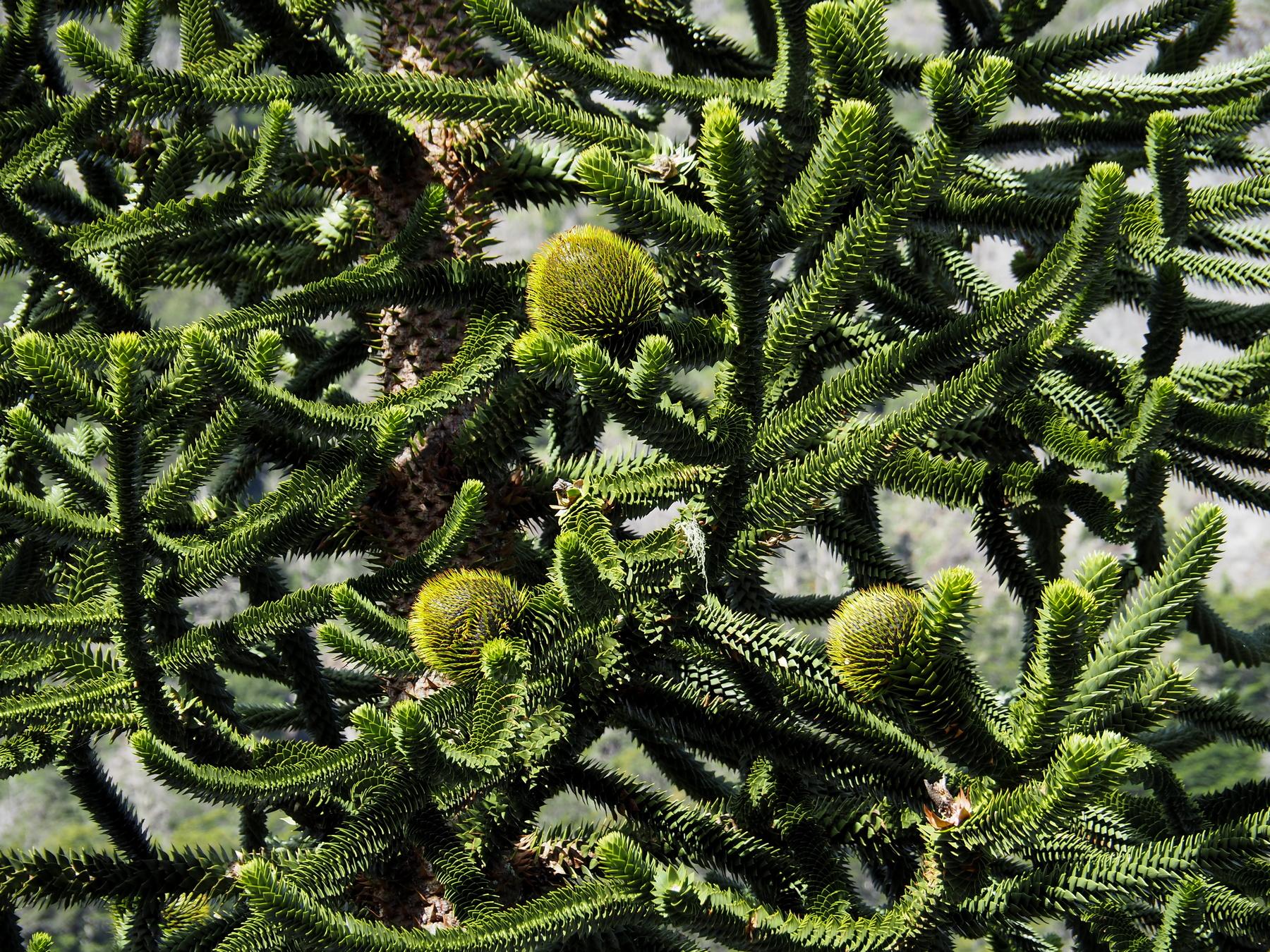 Die Araucarie ist fast der perfekte Weihnachtsbaum, denn sie produziert selbst Christbaumkugeln