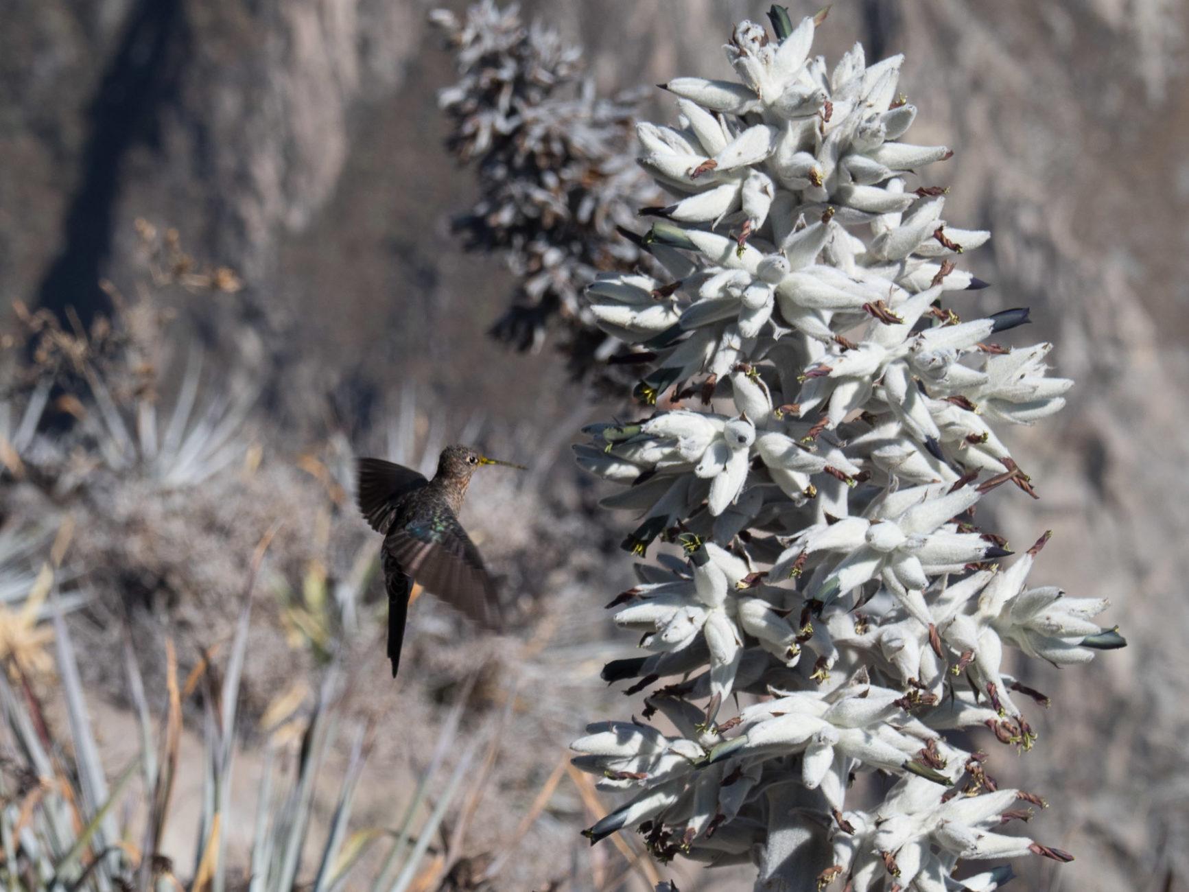 Kolibri in Amselgröße