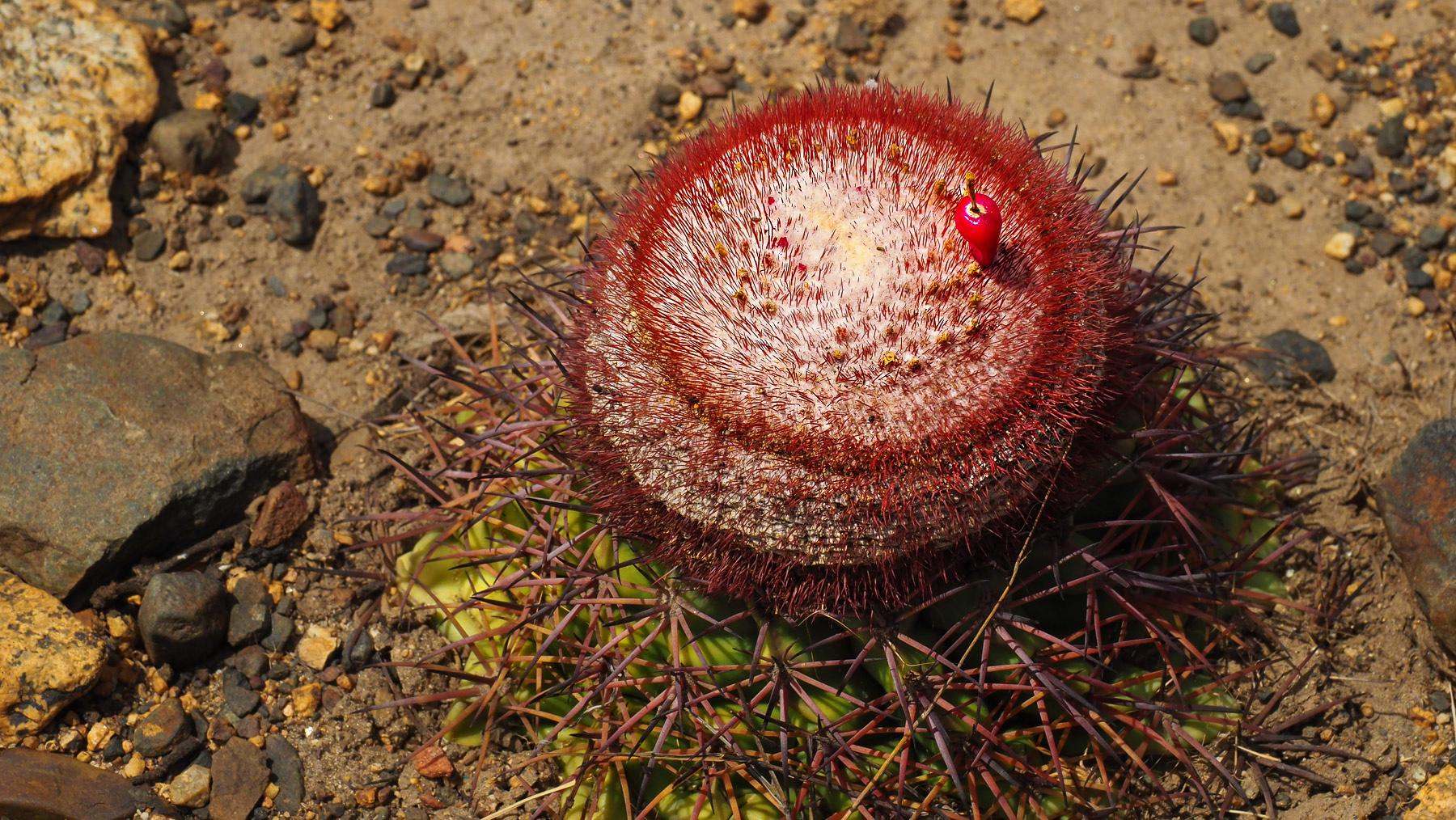 Seltsamer Kaktus mit kleiner roter Frucht