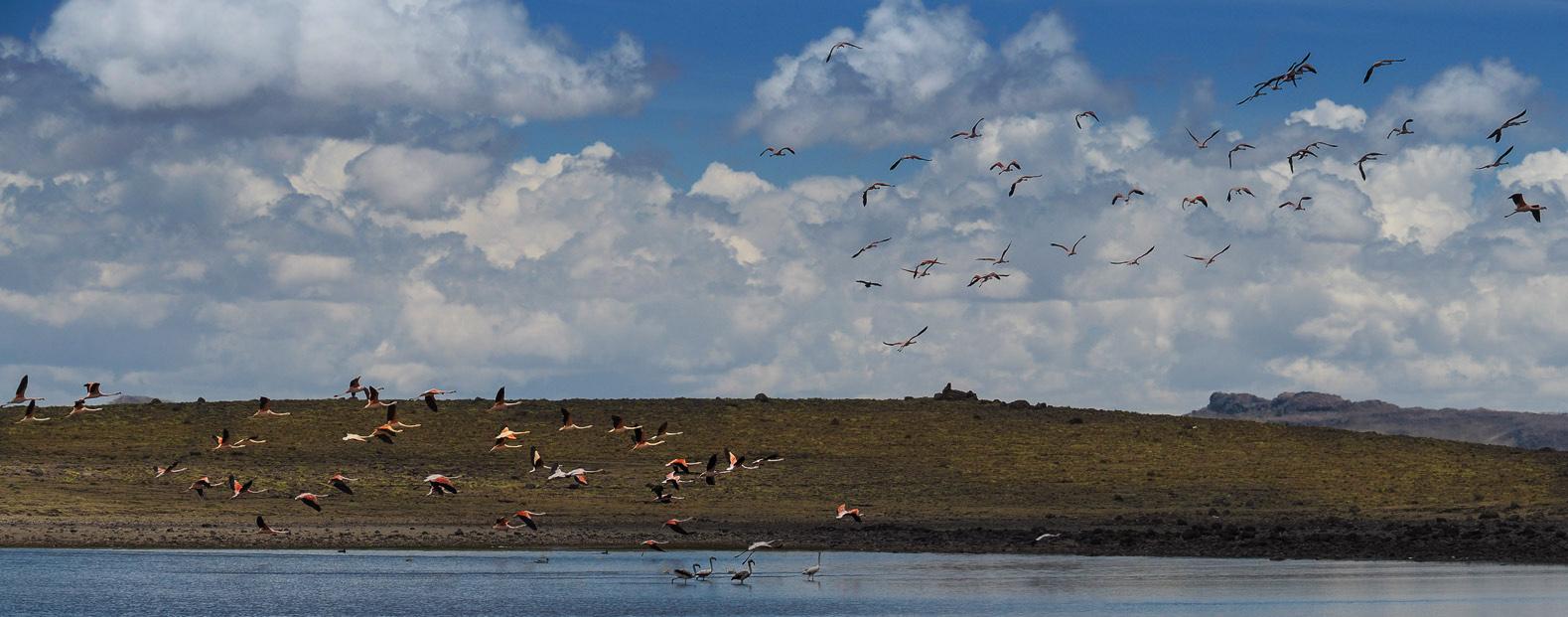 Flamingos an einem Andensee auf 4500 m