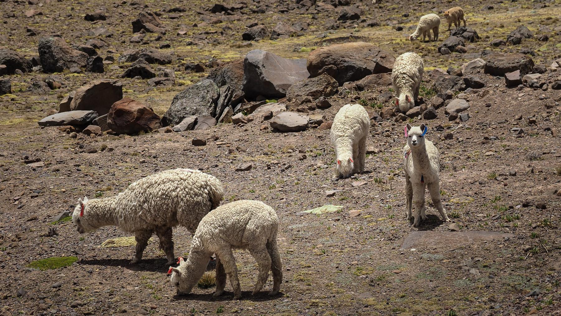 Die Alpakas sind ebenfalls in großen Herden vertreten