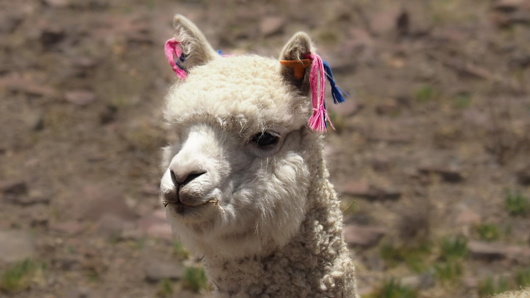 Hübsch geschmücktes Alpaka