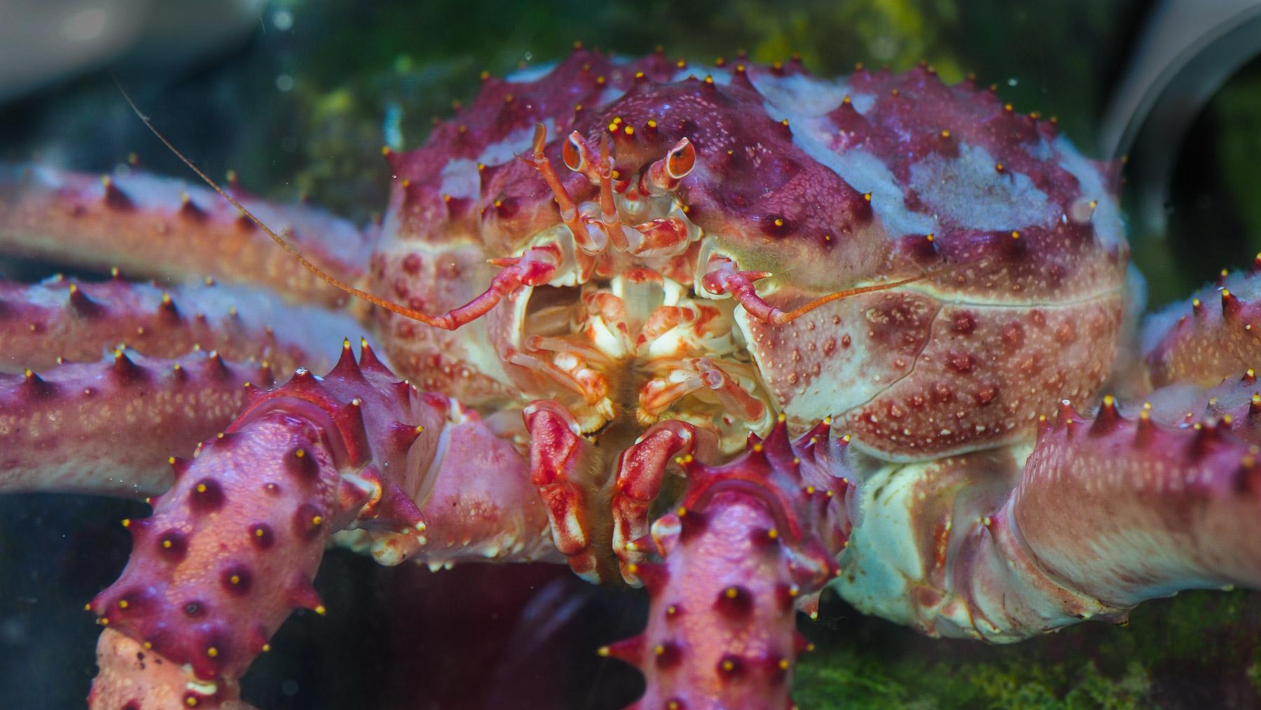 Kings Crab, schön und gruselig zugleich