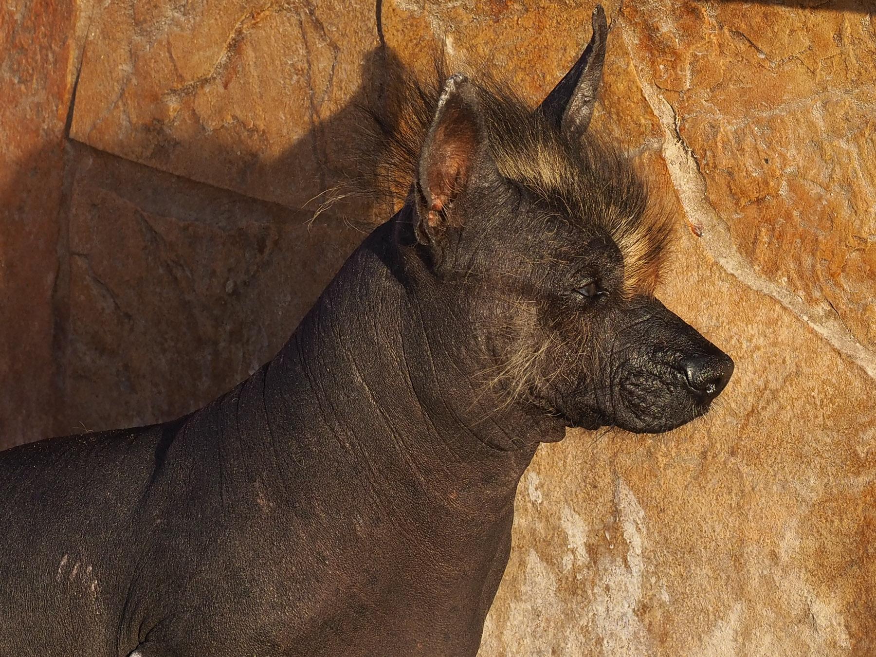 Wilder Rabauke oder sanfter peruanischer Nackthund ?