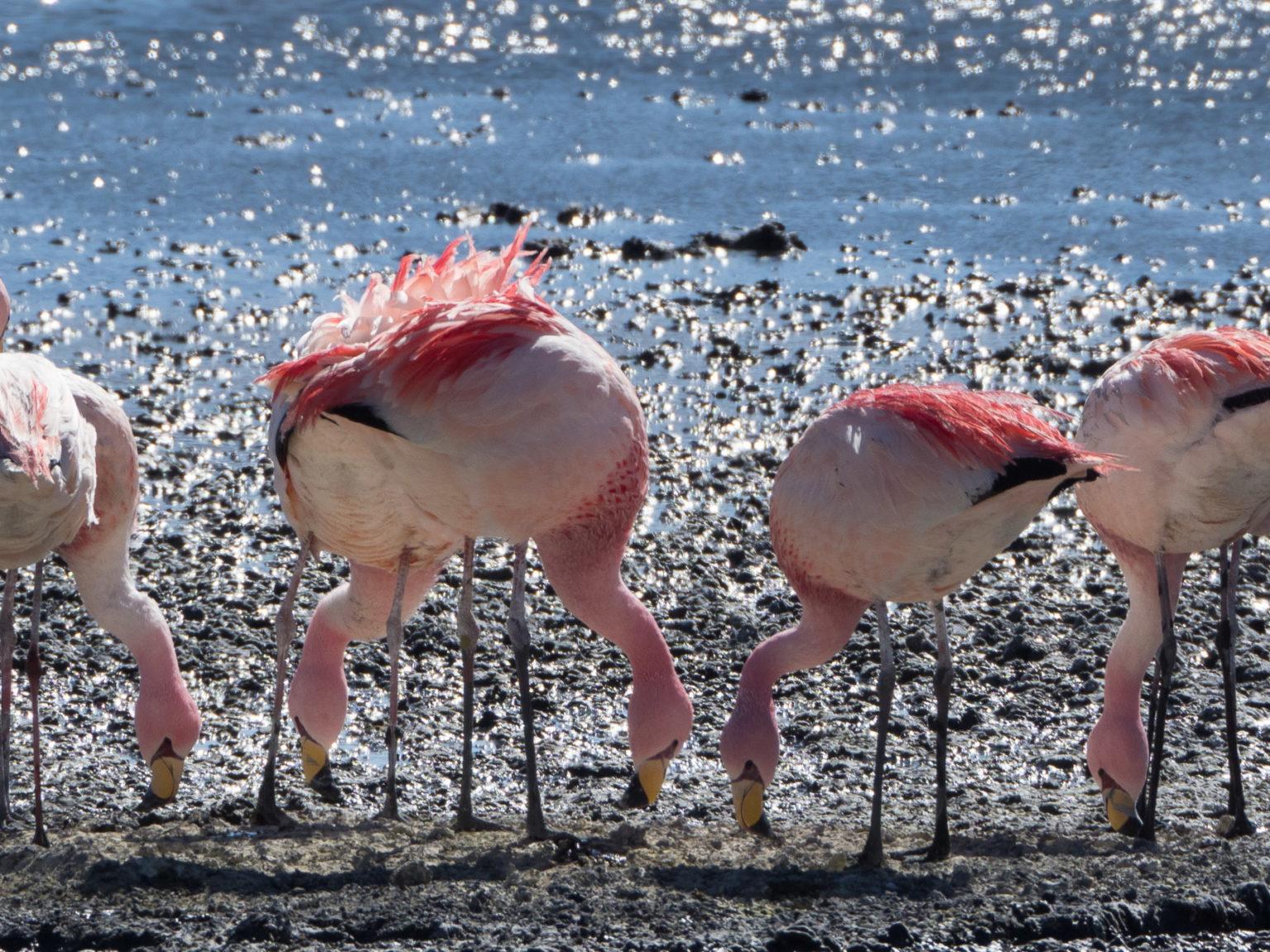 Anden-Flamingos mit dem gelben Schnabel