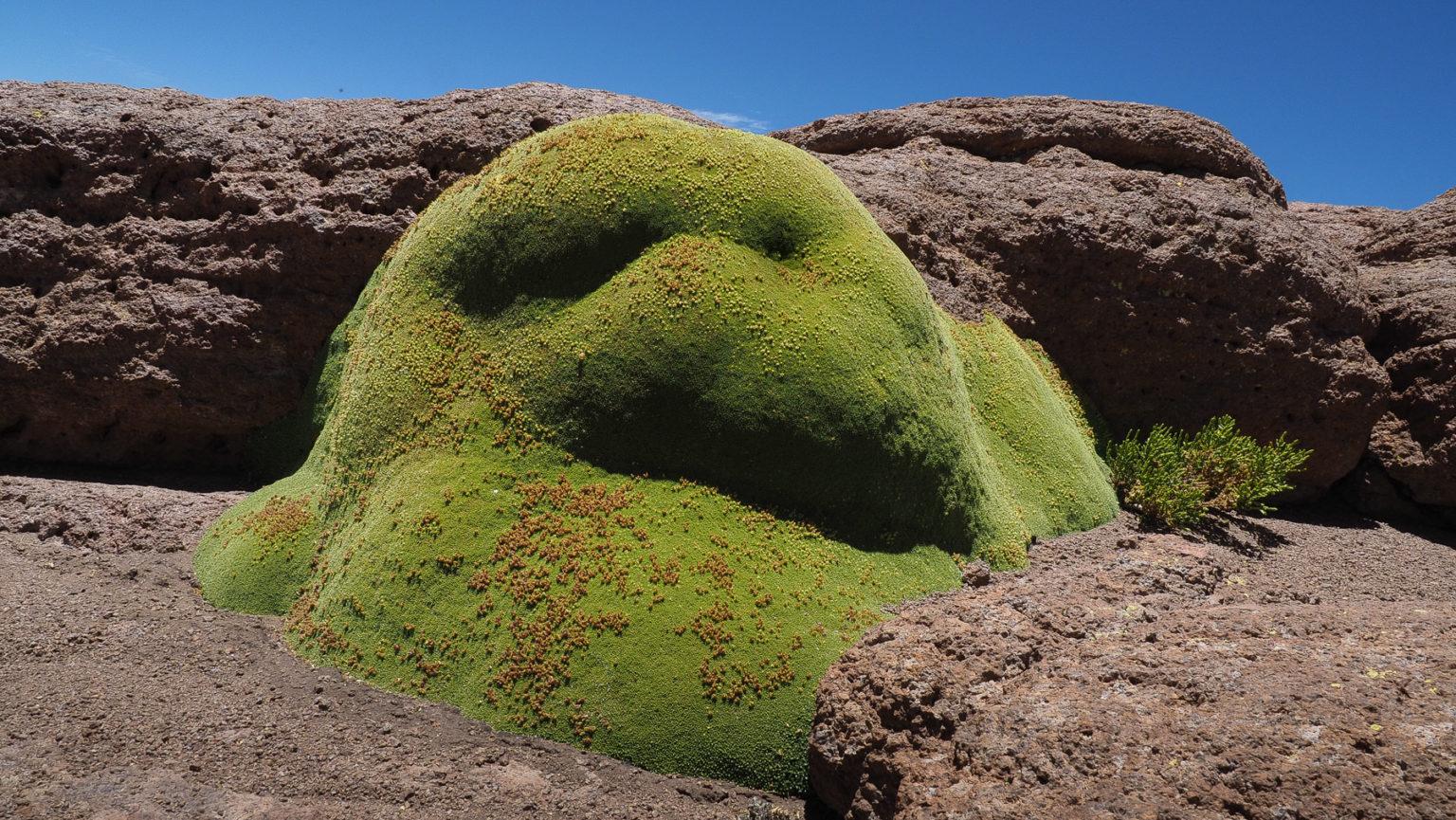Eine Rarität diese dicken grünen Moosposter in der Wüste