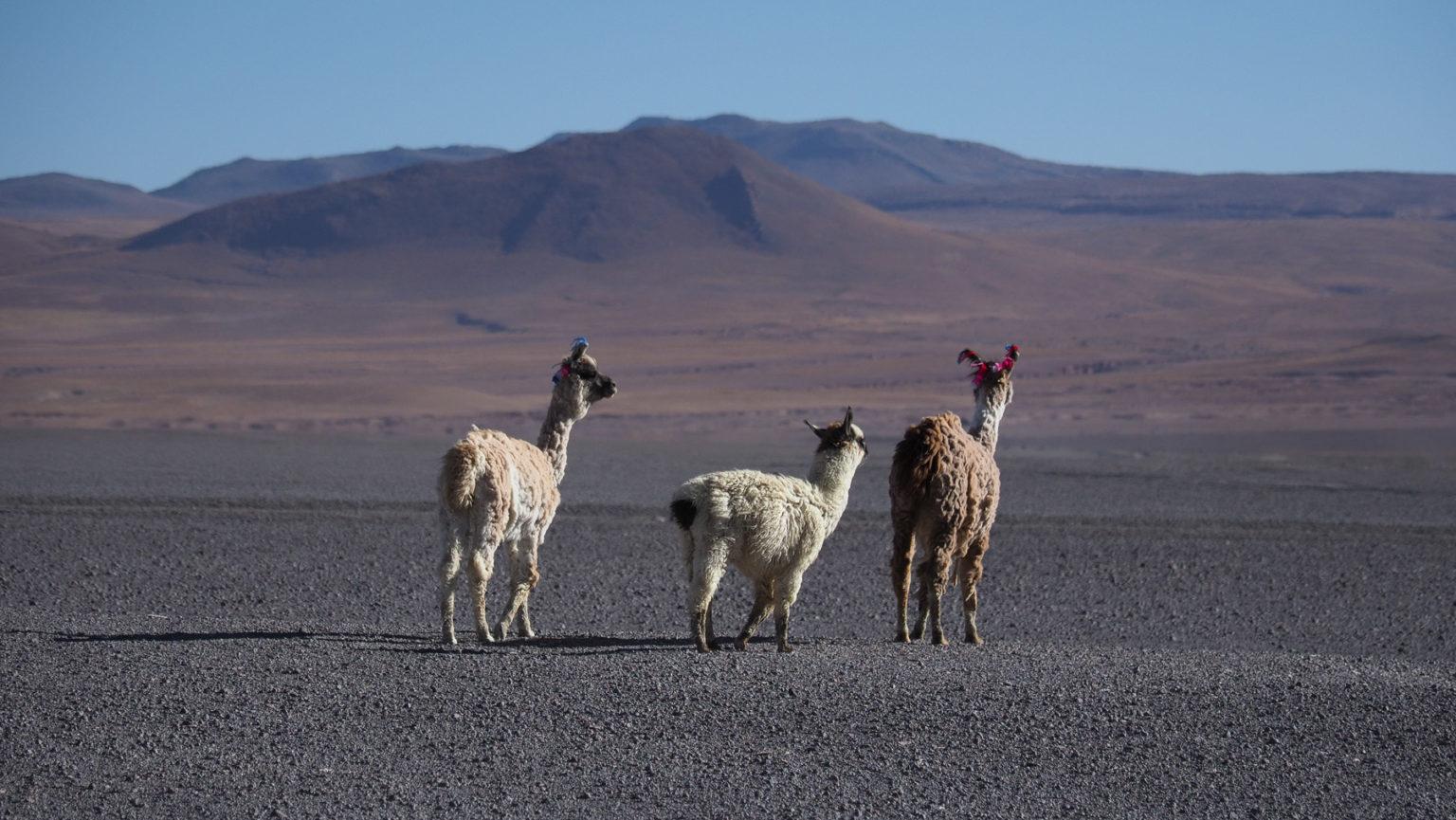 Lamas auf der Lagunenroute