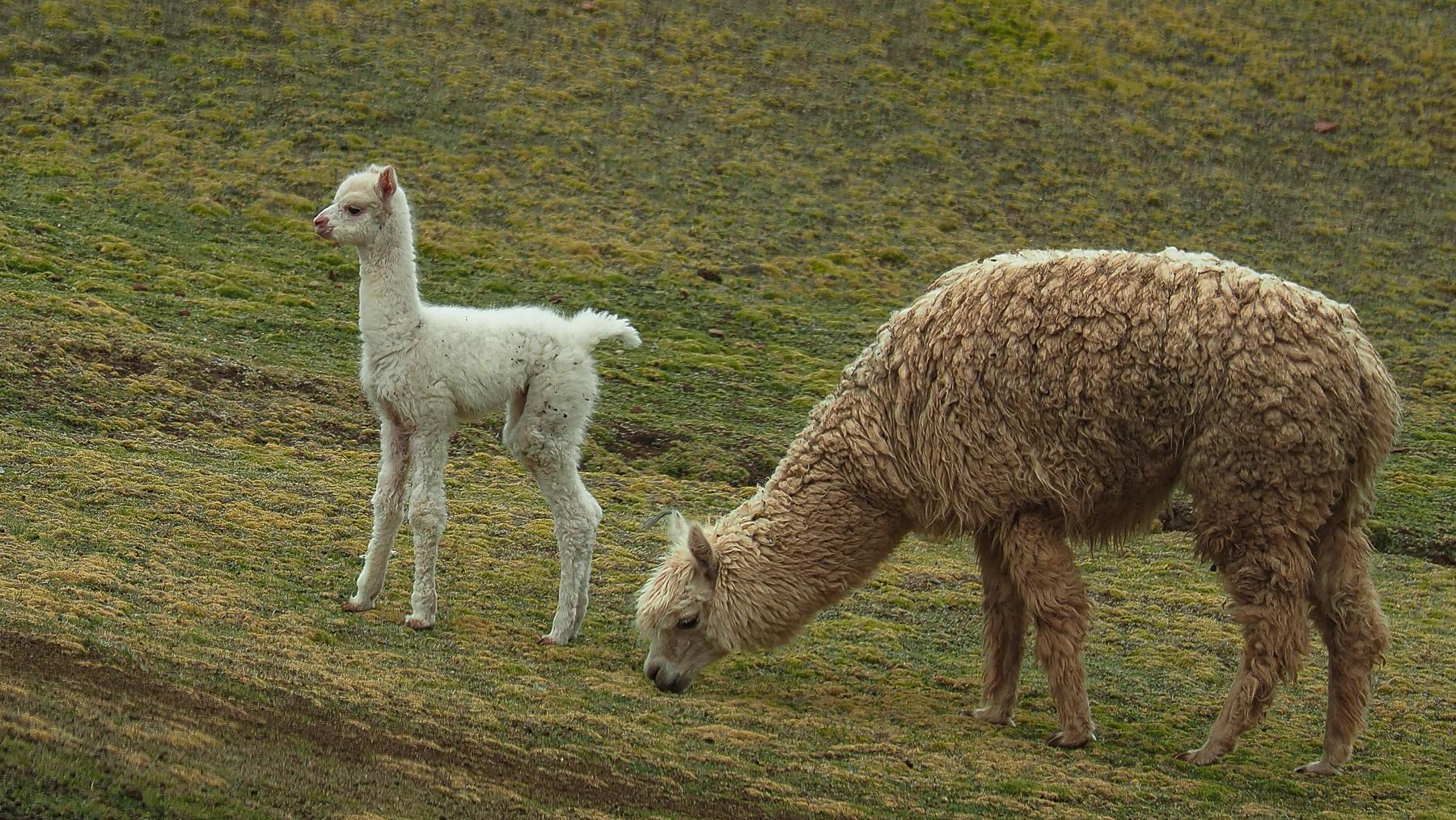 Lamas und Alpacas bevölkern das Tal