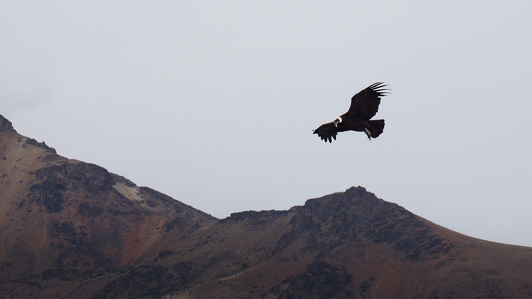 Kondor über dem Colca Canyon