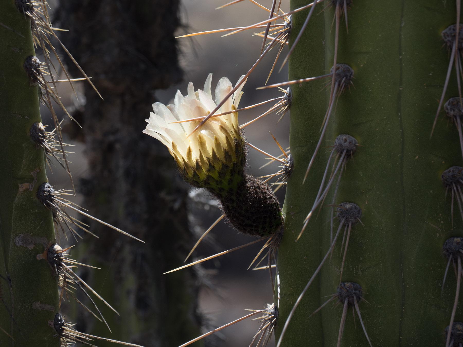 Wunderschöne Kaktusblüte in weiß…